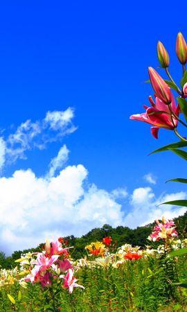 111905 скачать обои Цветы, Лилии, Поляна, Небо, Солнечно, Позитив - заставки и картинки бесплатно
