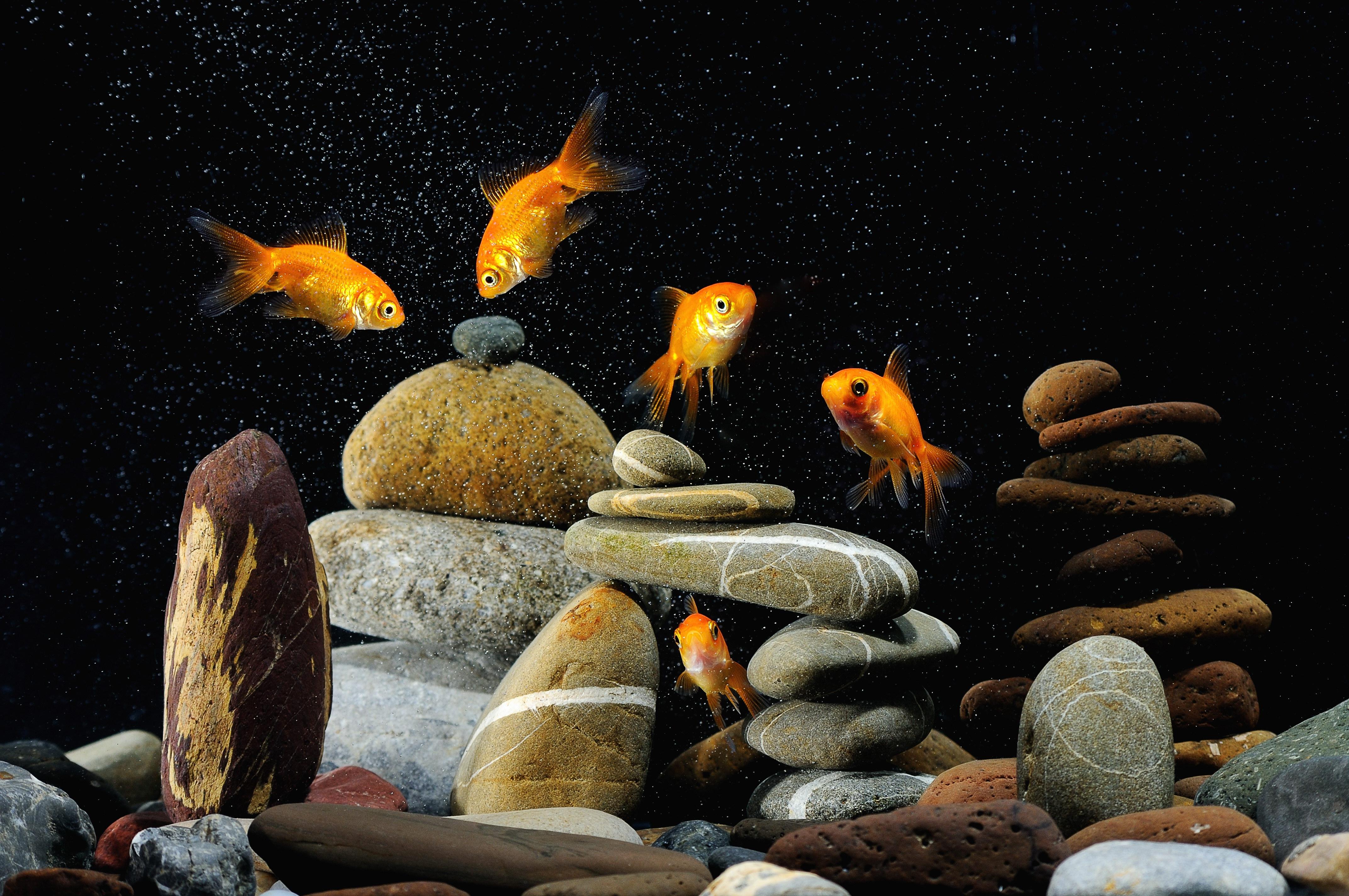 120370 Заставки и Обои Рыбы на телефон. Скачать Животные, Камни, Рыбы, Чёрный Фон, Аквариум картинки бесплатно