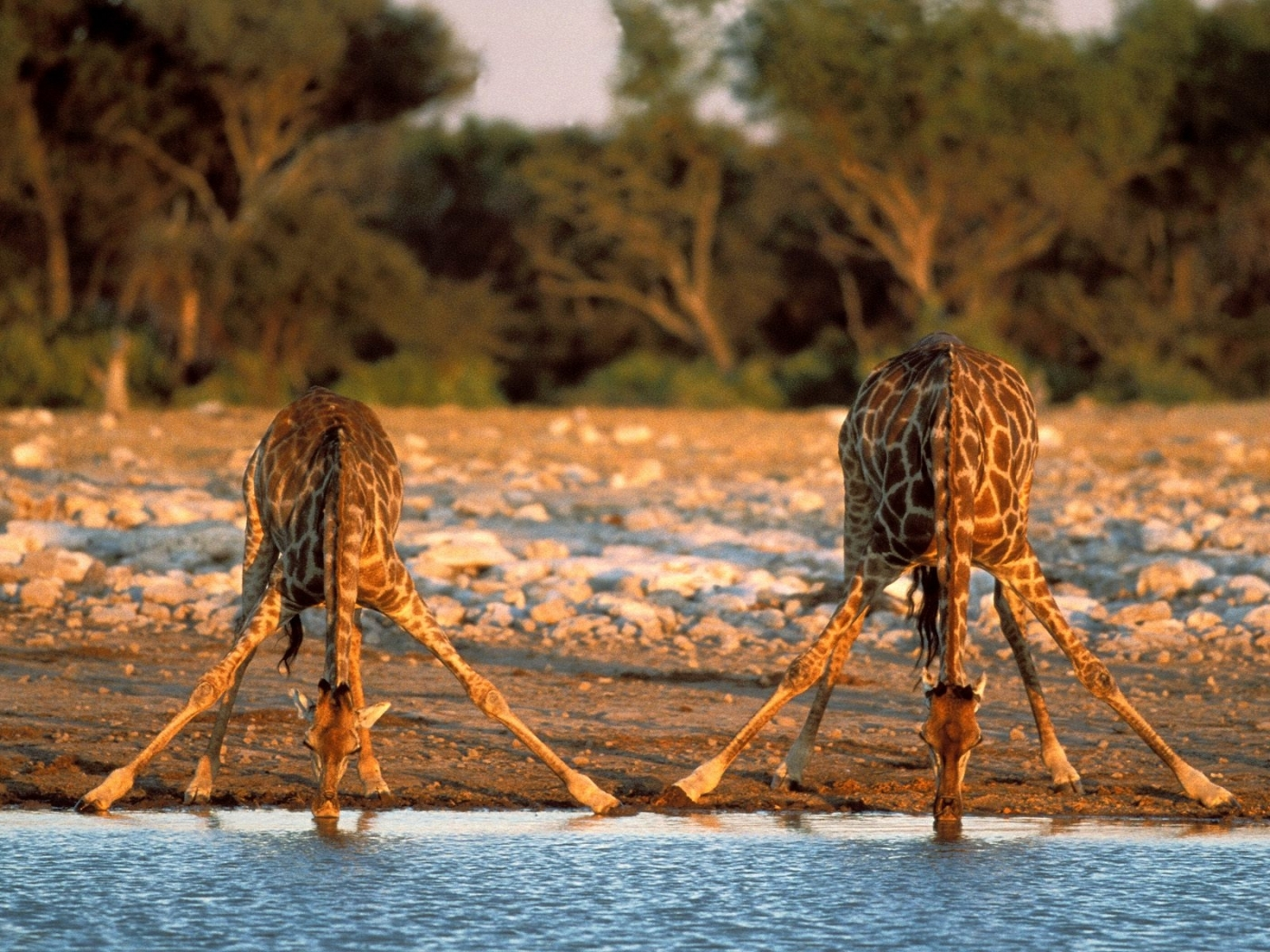 47499 download wallpaper Animals, Giraffes screensavers and pictures for free