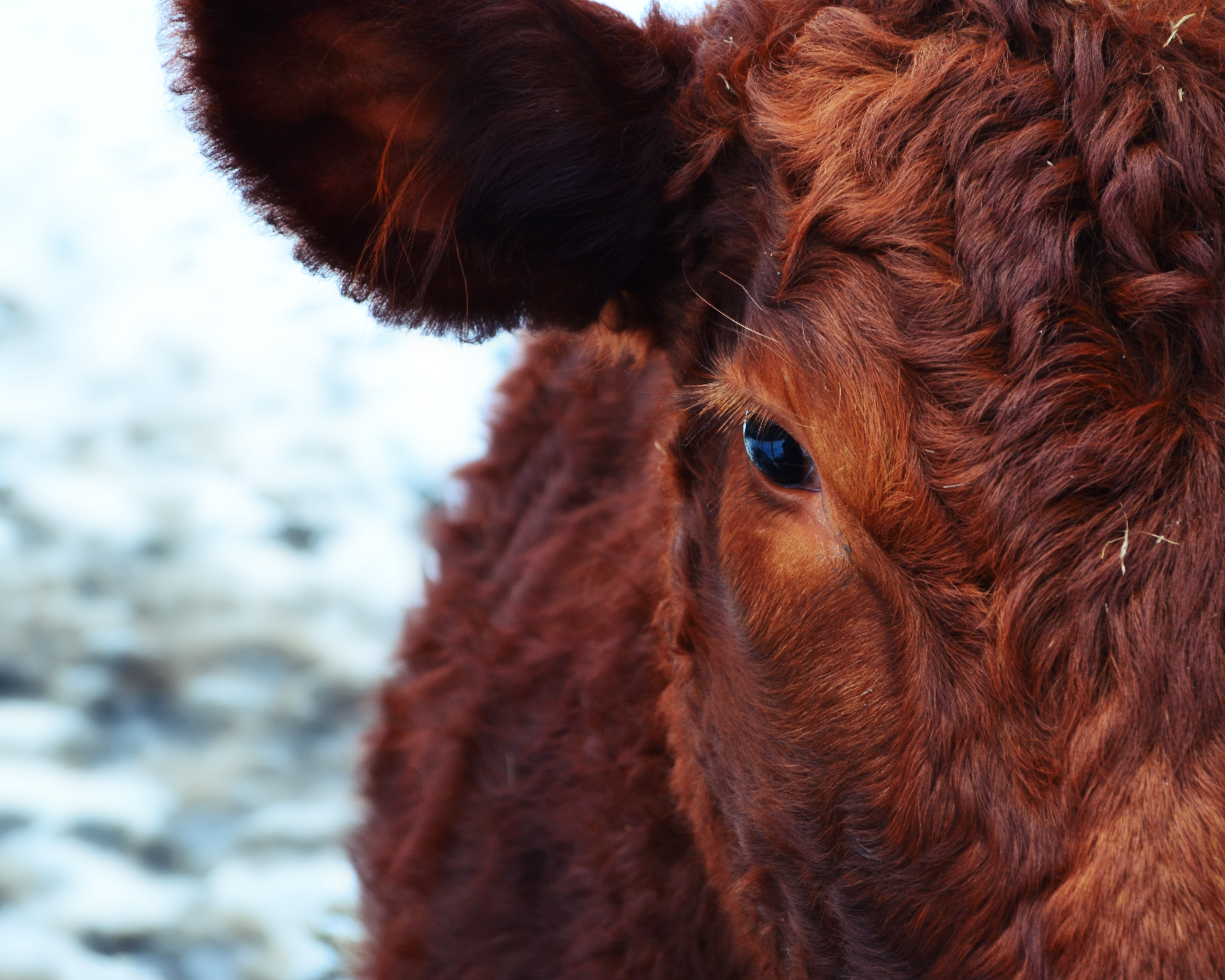 57089 download wallpaper Animals, Cow, Muzzle, Eyes, Wool screensavers and pictures for free