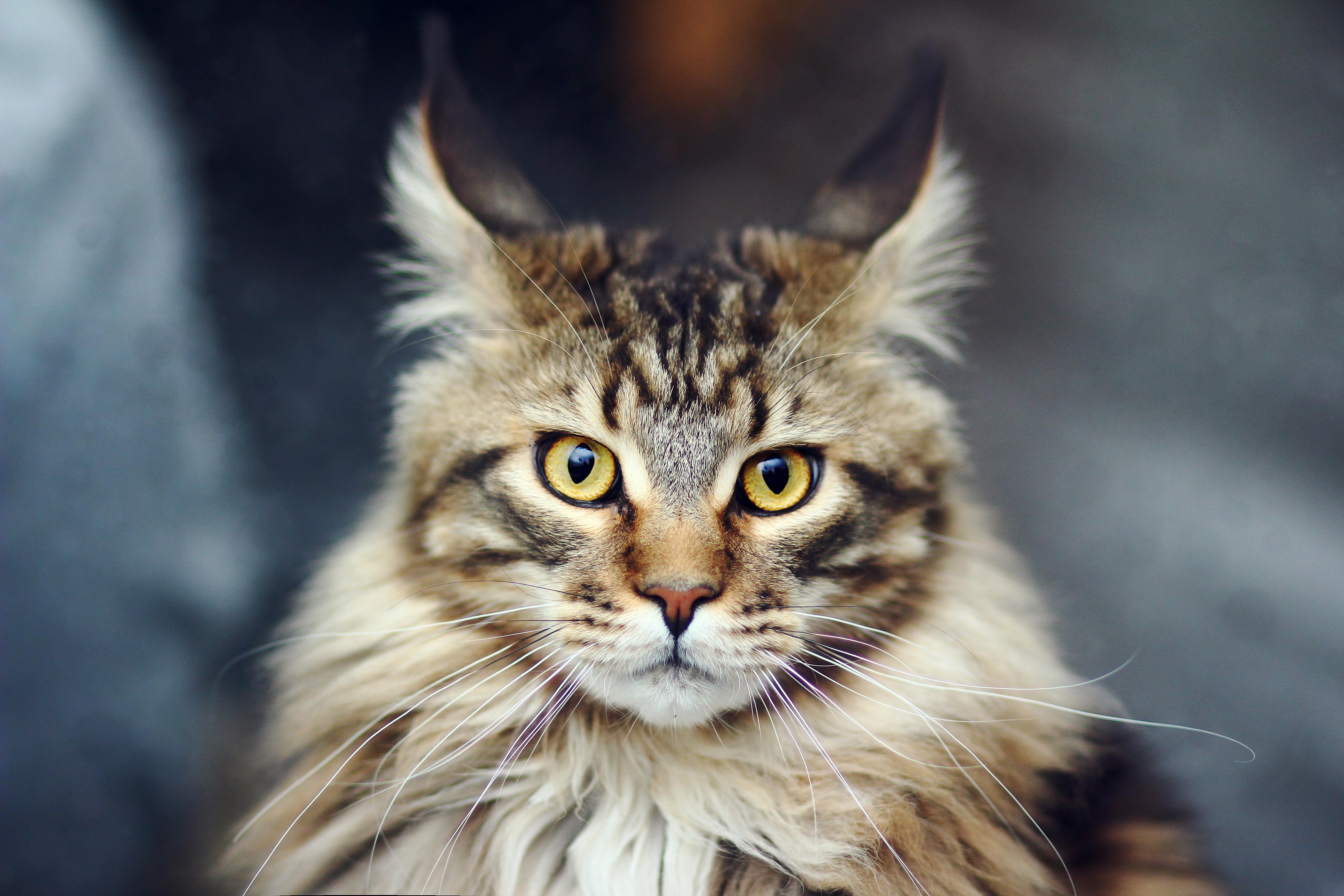97274 Hintergrundbild herunterladen Katze, Tiere, Der Kater, Flauschige, Schnauze, Gestreift - Bildschirmschoner und Bilder kostenlos