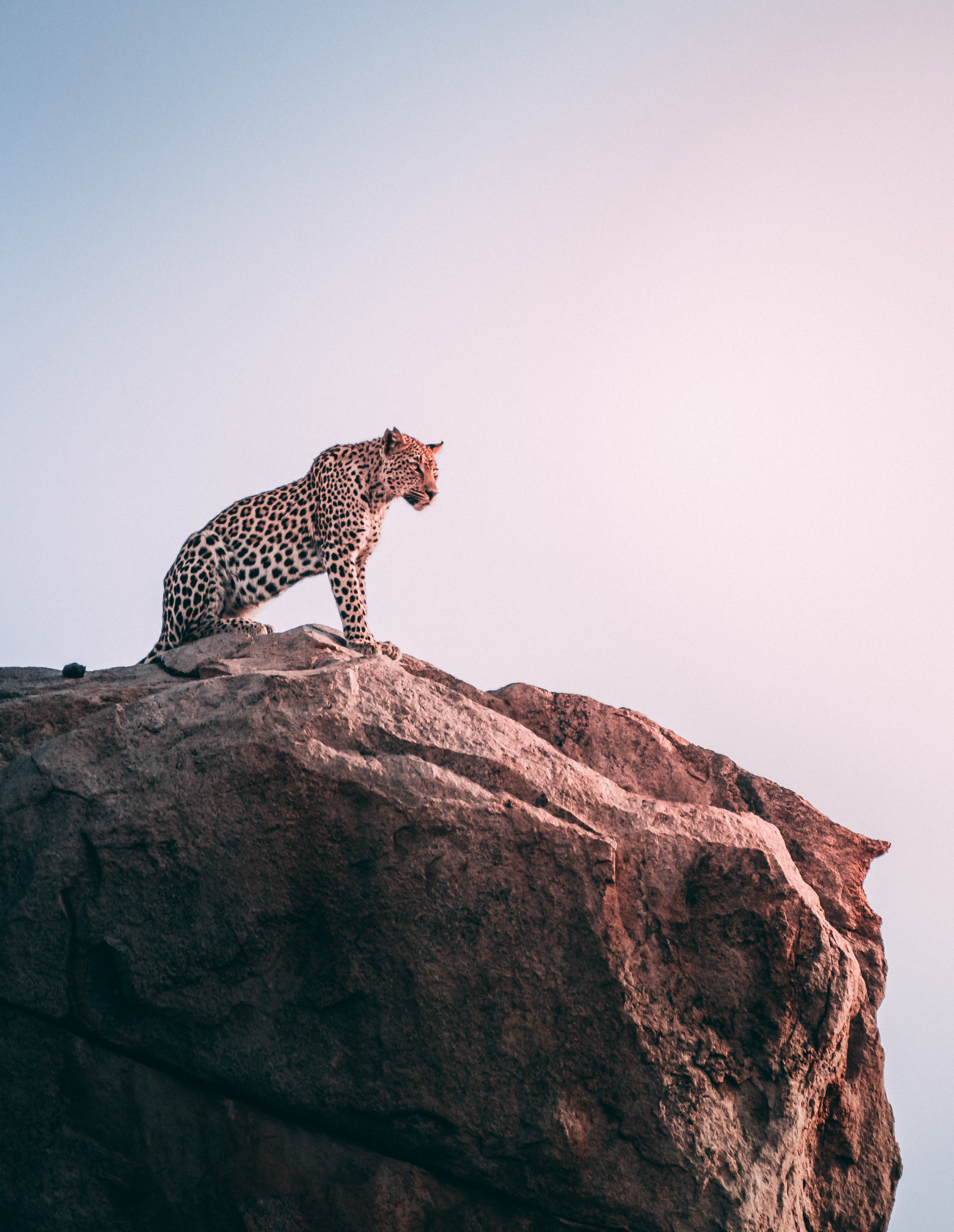 83660 download wallpaper Animals, Leopard, Rock, Predator, Big Cat screensavers and pictures for free