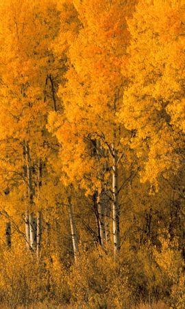 41930 descargar fondo de pantalla Paisaje, Naturaleza, Árboles, Otoño, Abedules: protectores de pantalla e imágenes gratis