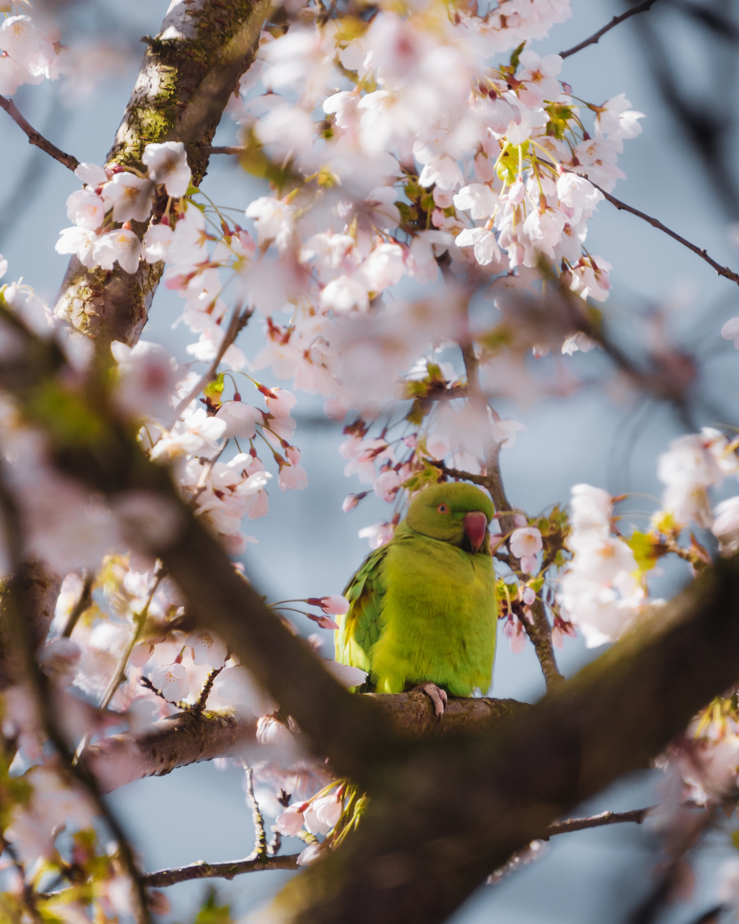 108583 Screensavers and Wallpapers Parrots for phone. Download Parrots, Animals, Flowers, Branches pictures for free