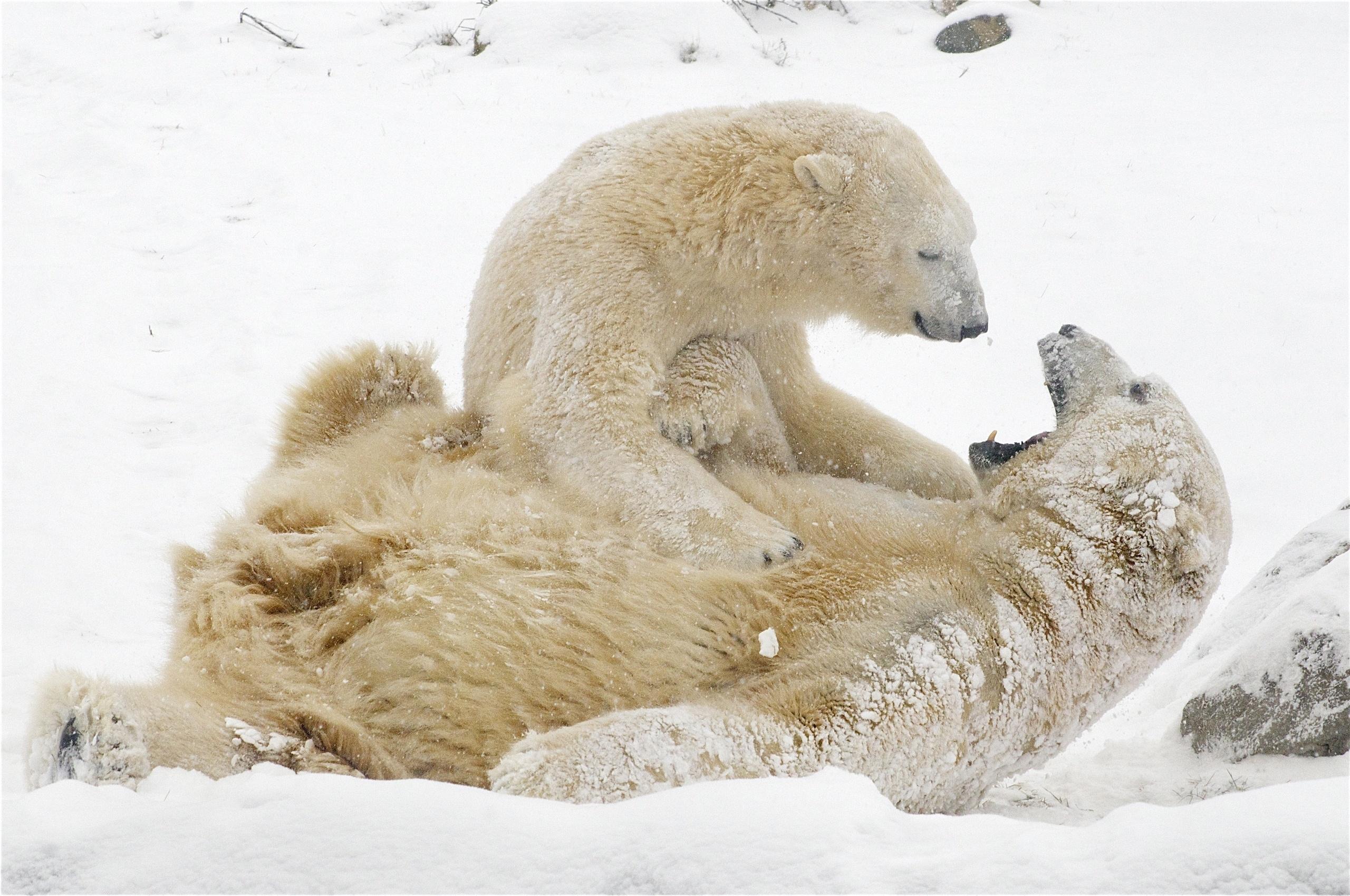 119369 Hintergrundbild herunterladen Spiele, Tiere, Winterreifen, Schnee, Bären, Weiße Bären, Eisbären - Bildschirmschoner und Bilder kostenlos
