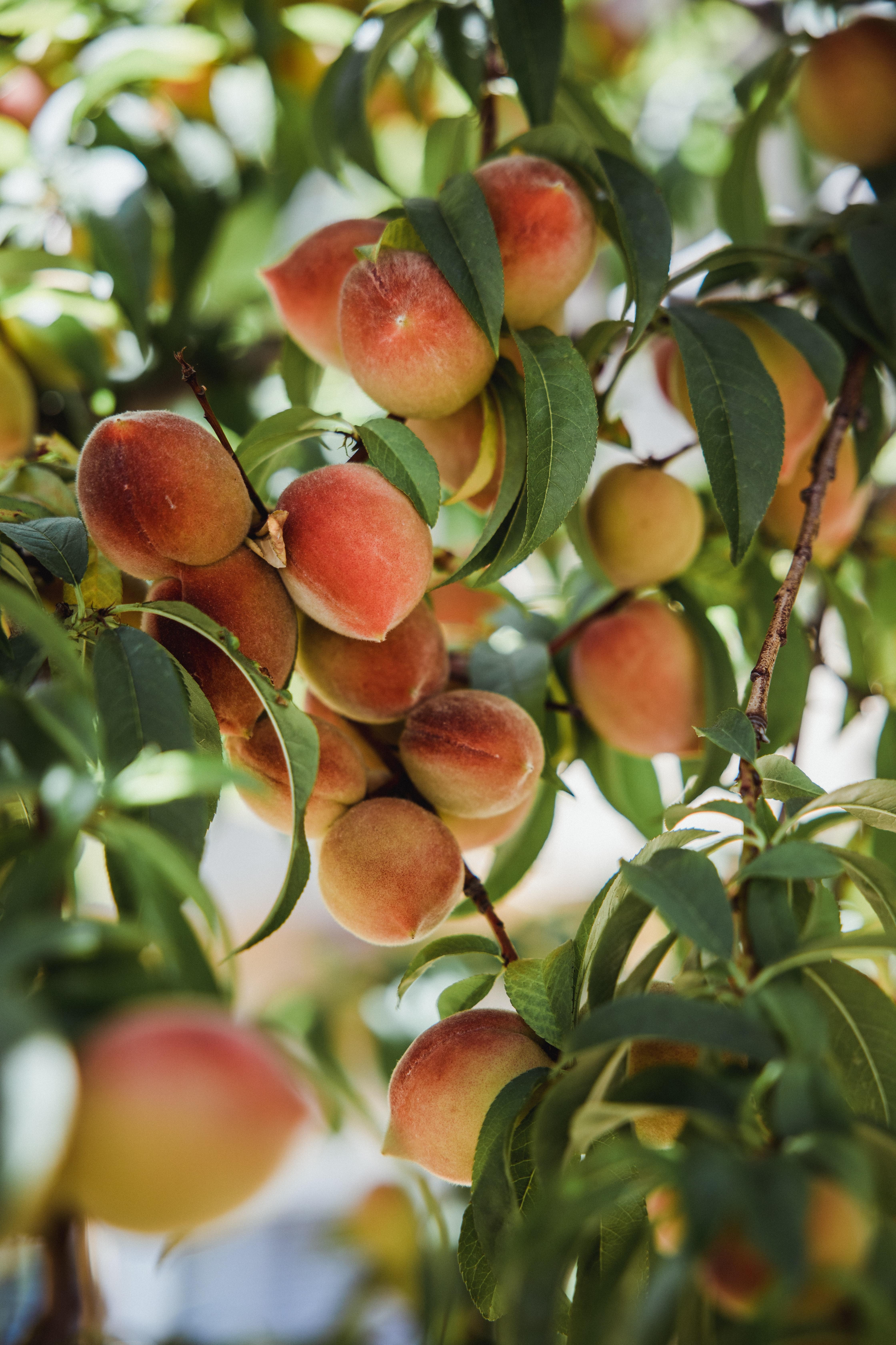 157625 скачать обои Еда, Персики, Дерево, Ветки, Листья, Фрукты - заставки и картинки бесплатно