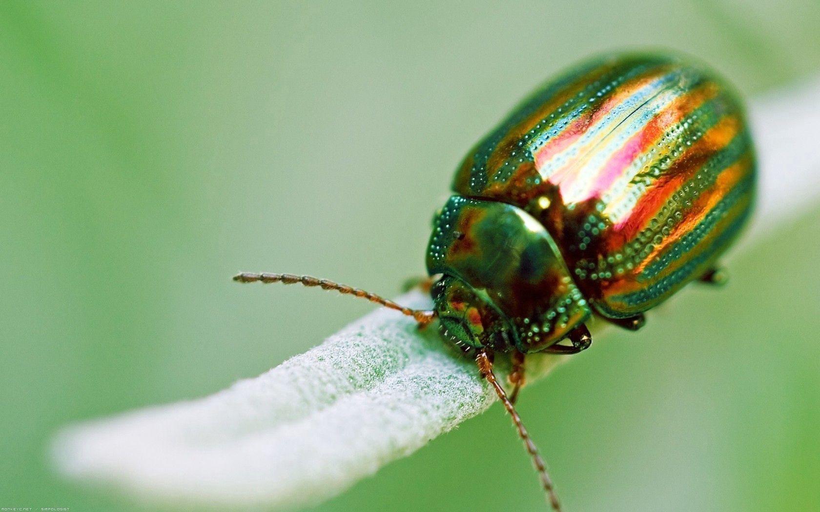 手機的109932屏保和壁紙昆虫。 免費下載 宏, 昆虫, 漏洞, 甲壳虫, 绿色的, 金的, 金色 圖片