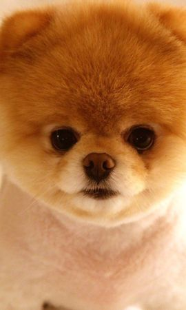95680 download wallpaper Animals, Puppy, Muzzle, Nice, Sweetheart, Fluffy screensavers and pictures for free