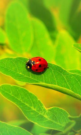 お使いの携帯電話の120549スクリーンセーバーと壁紙昆虫。 大きい, マクロ, てんとう虫, 天道虫, 昆虫, シート, 葉, 工場, 植物の写真を無料でダウンロード