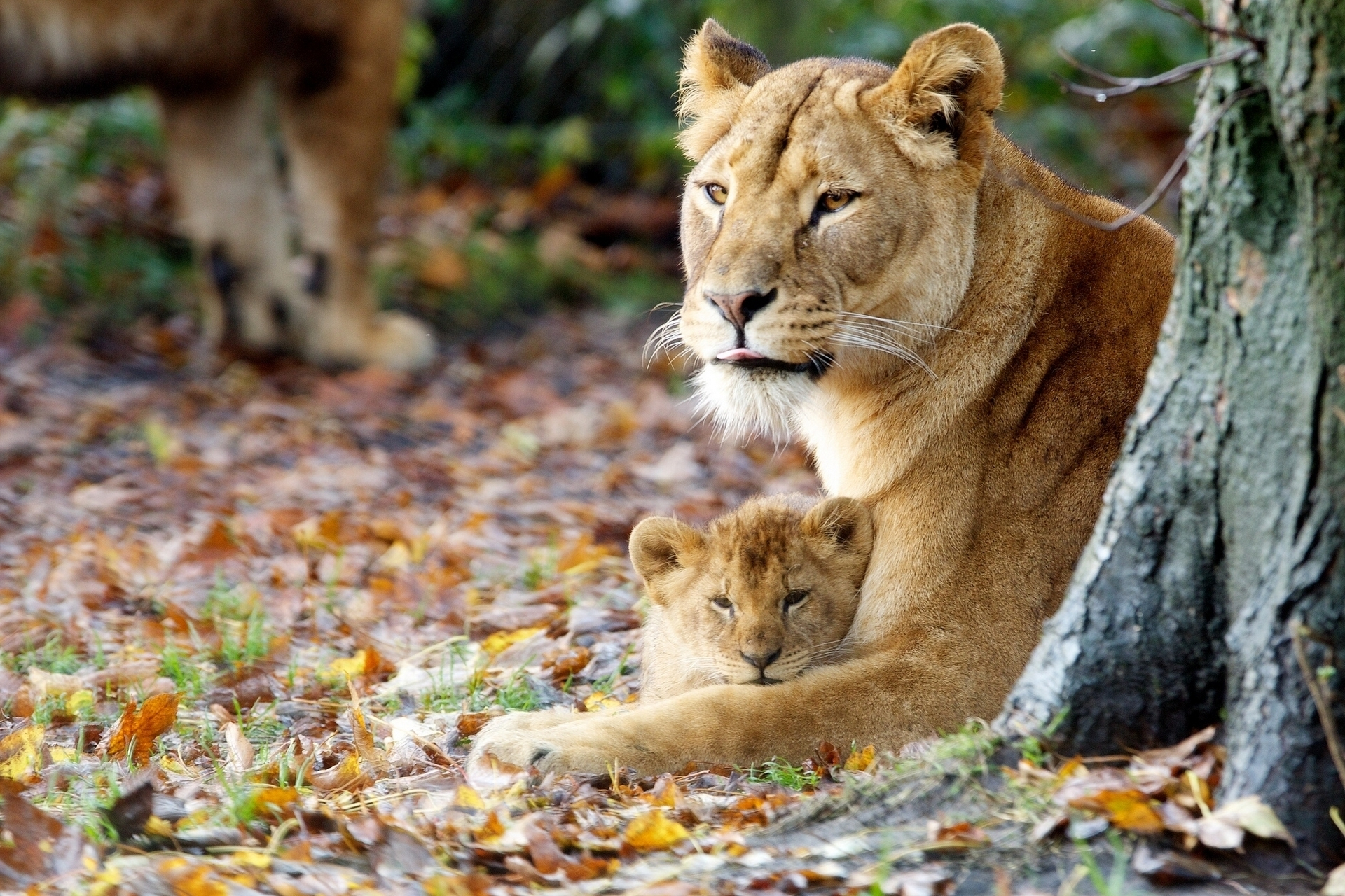 116853 download wallpaper Animals, Lioness, Young, Joey, Grass, Sit screensavers and pictures for free