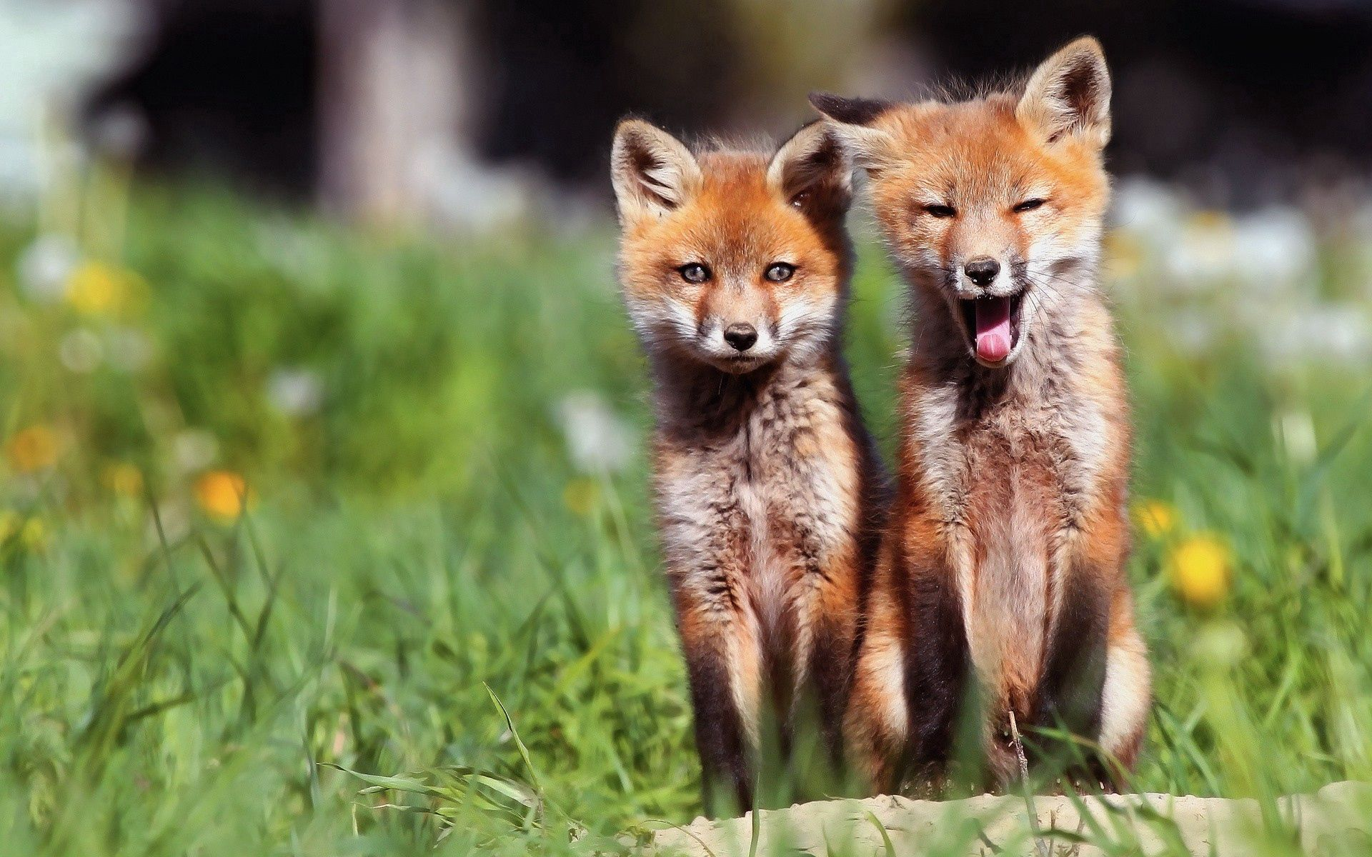 138641 download wallpaper Animals, Fox Cubs, Lisita, Couple, Pair, Sit screensavers and pictures for free