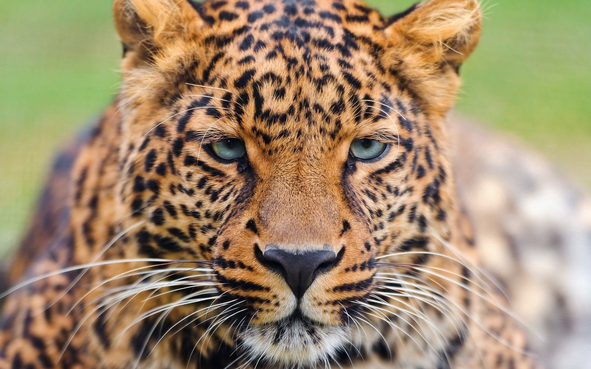 146672 download wallpaper Animals, Leopard, Muzzle, Sight, Opinion, Big Cat screensavers and pictures for free