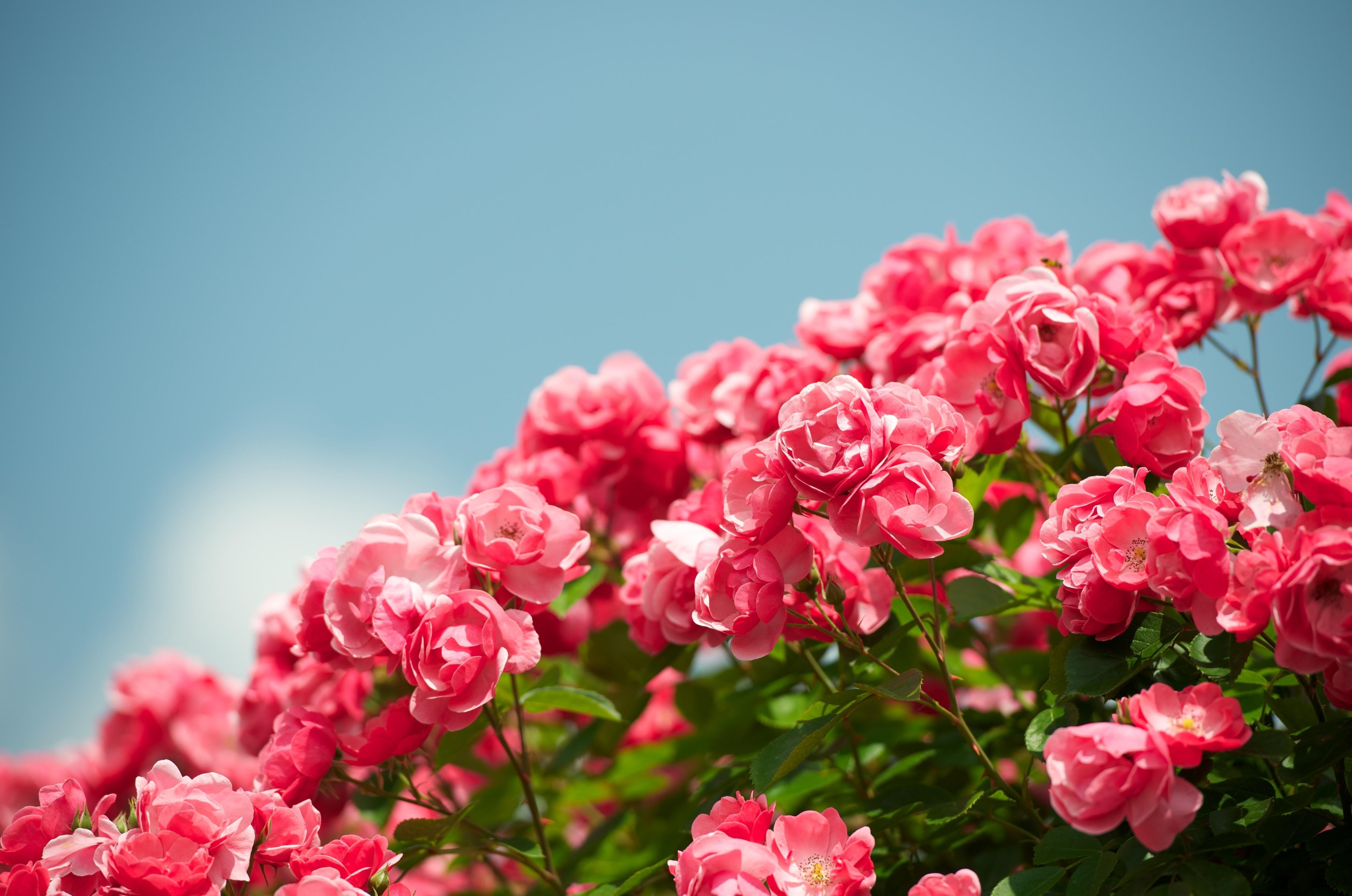 93489 Hintergrundbild herunterladen Blumen, Sky, Roses, Bush, Busch, Hübsch, Es Ist Wunderschön, Schärfe - Bildschirmschoner und Bilder kostenlos