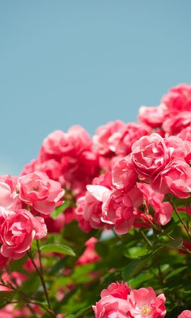 93489 завантажити шпалери Квіти, Чагарник, Кущ, Небо, Різкість, Красиво, Це Красиво, Рози - заставки і картинки безкоштовно