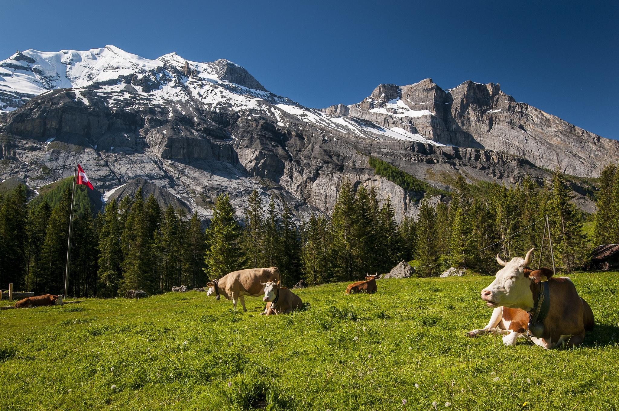 117069 скачать обои Животные, Швейцария, Луг, Трава, Вершины, Горы, Коровы - заставки и картинки бесплатно