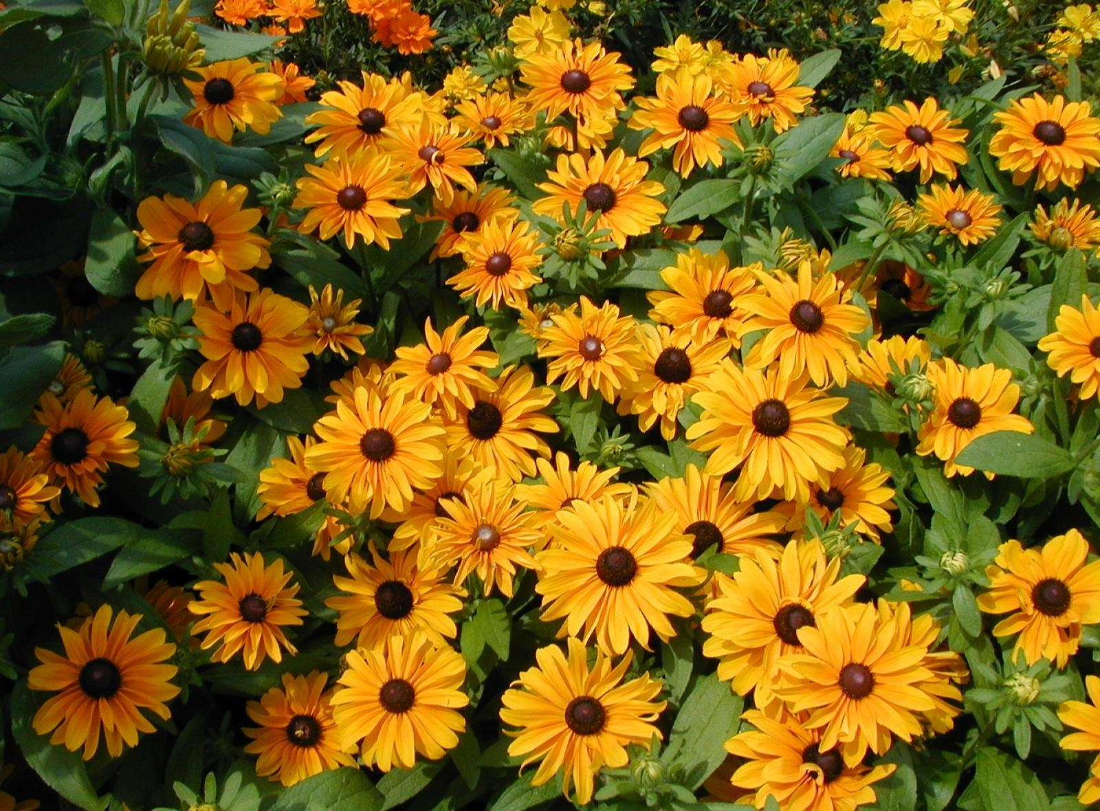 65376 Screensavers and Wallpapers Flower Bed for phone. Download Flower Bed, Flowers, Greens, Flowerbed, Brightly, Rudbeckia, Rudbekia pictures for free