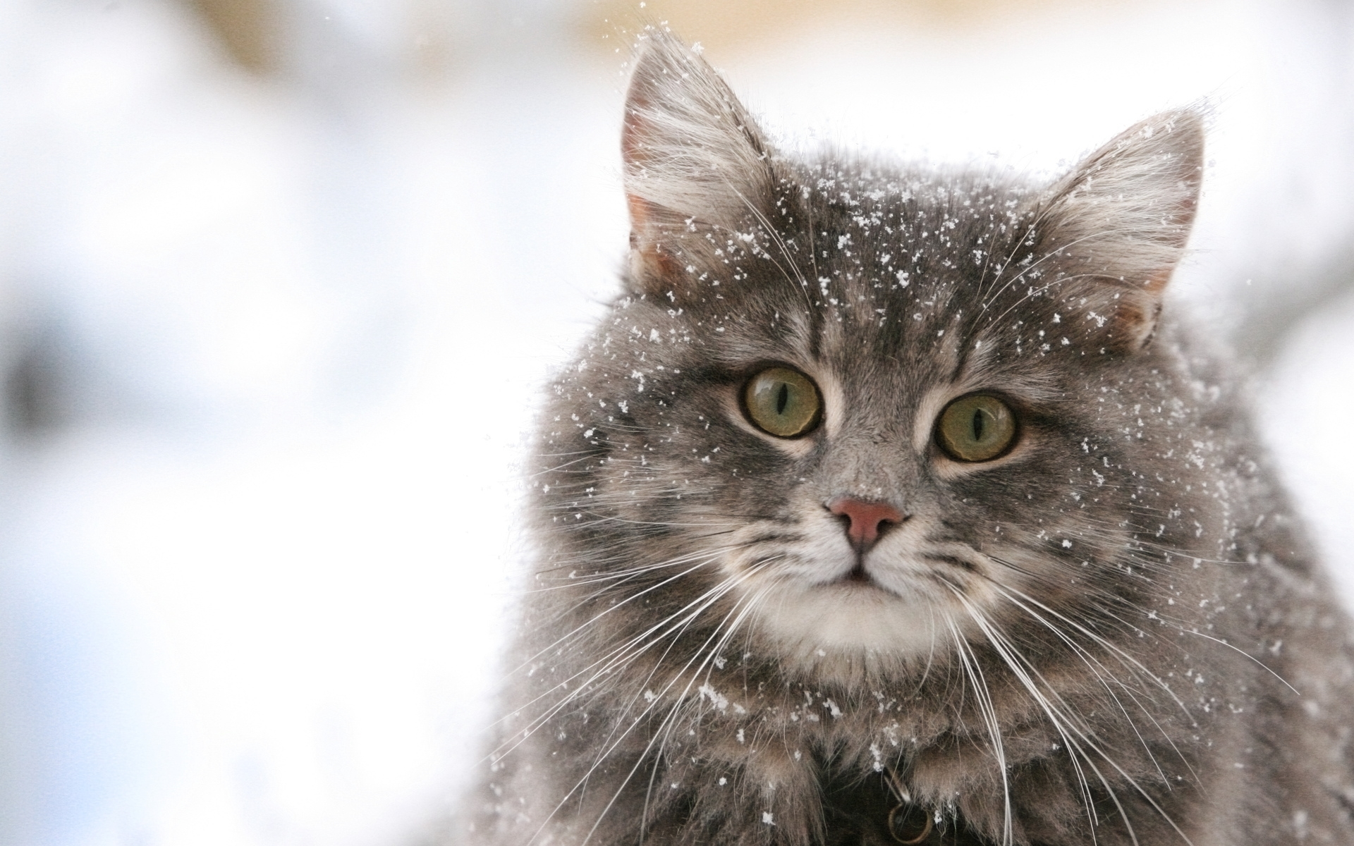 4958 download wallpaper Animals, Cats, Snow screensavers and pictures for free