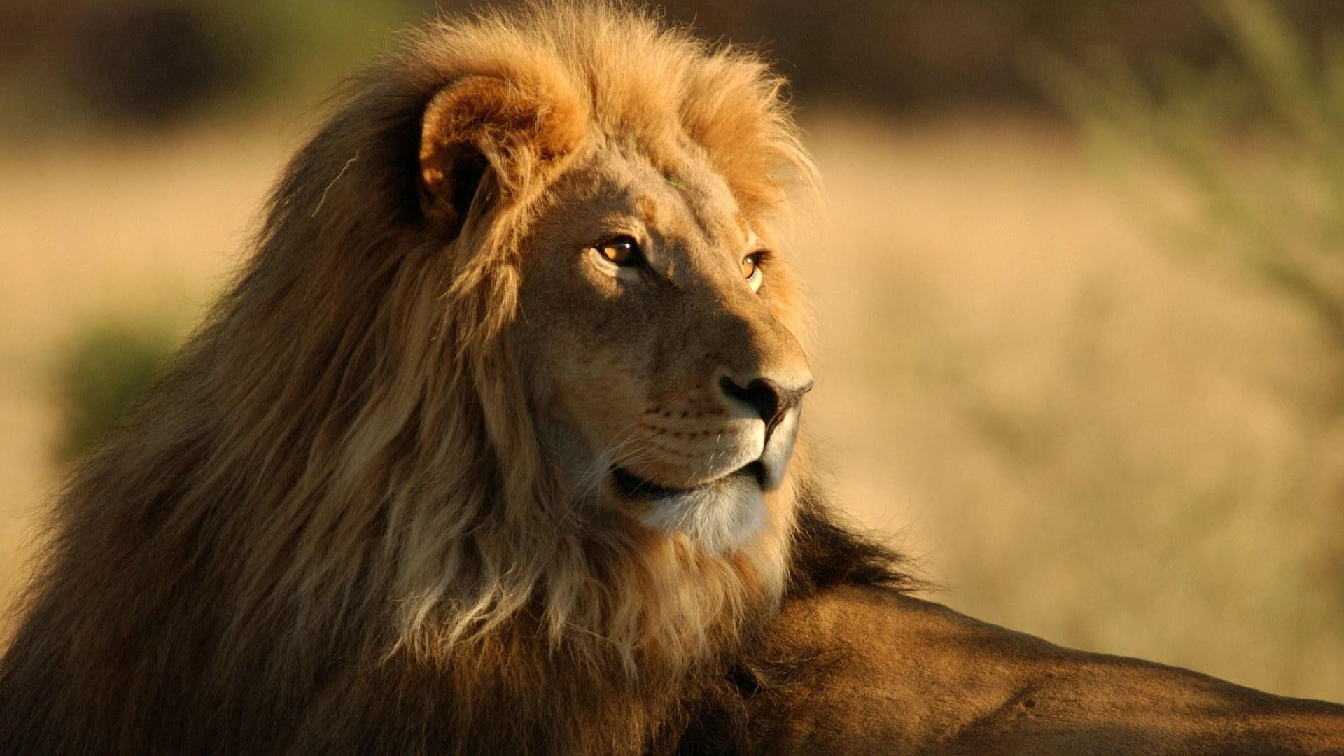 68288 baixar papel de parede Animais, Leão, Um Leão, Predator, Predador, Gato Grande, Visão, Opinião, Juba, Rei Das Feras, Rei Das Bestas - protetores de tela e imagens gratuitamente