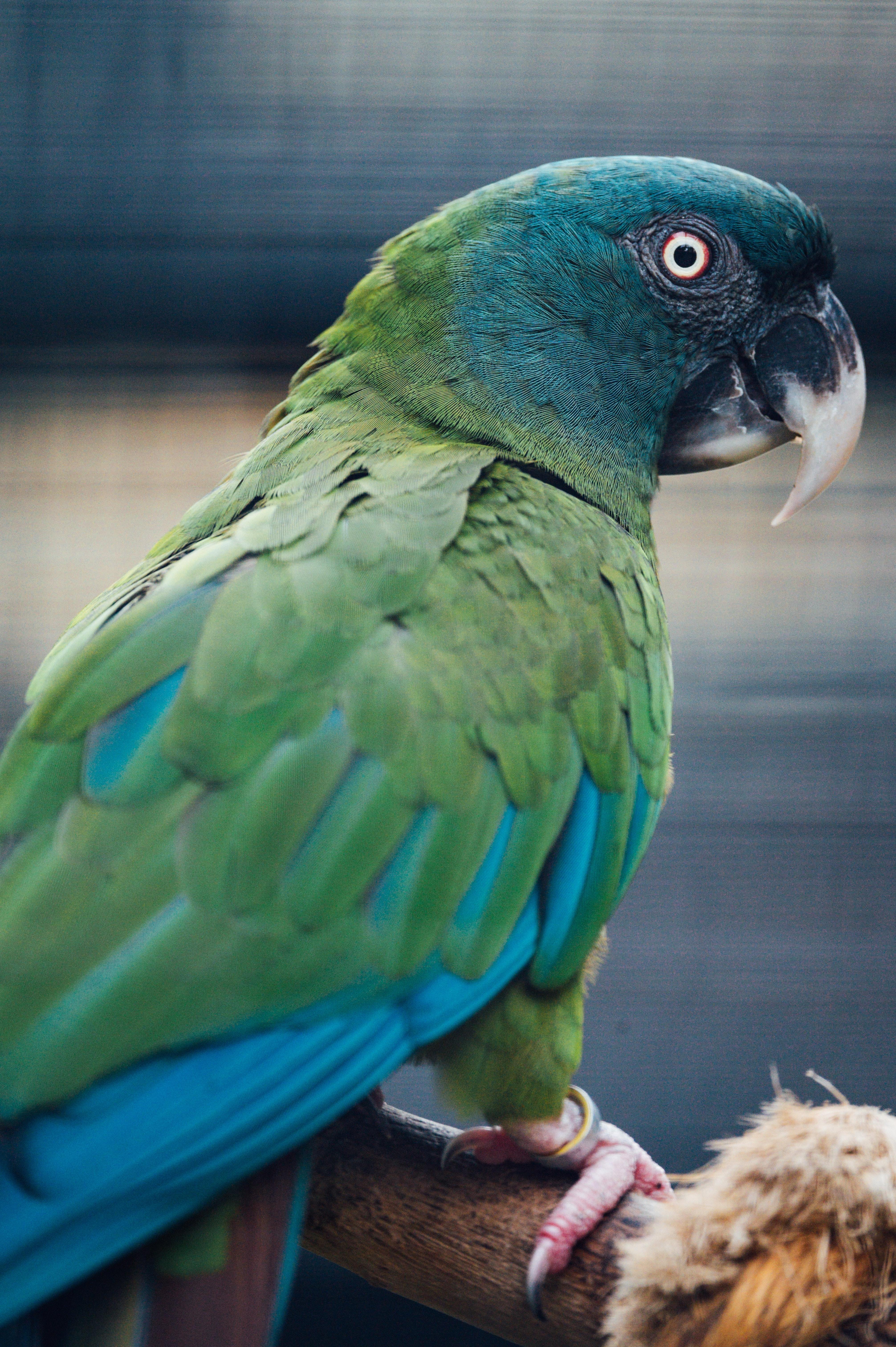 94518 descarga Verde fondos de pantalla para tu teléfono gratis, Animales, Loros, Pájaro Verde imágenes y protectores de pantalla para tu teléfono
