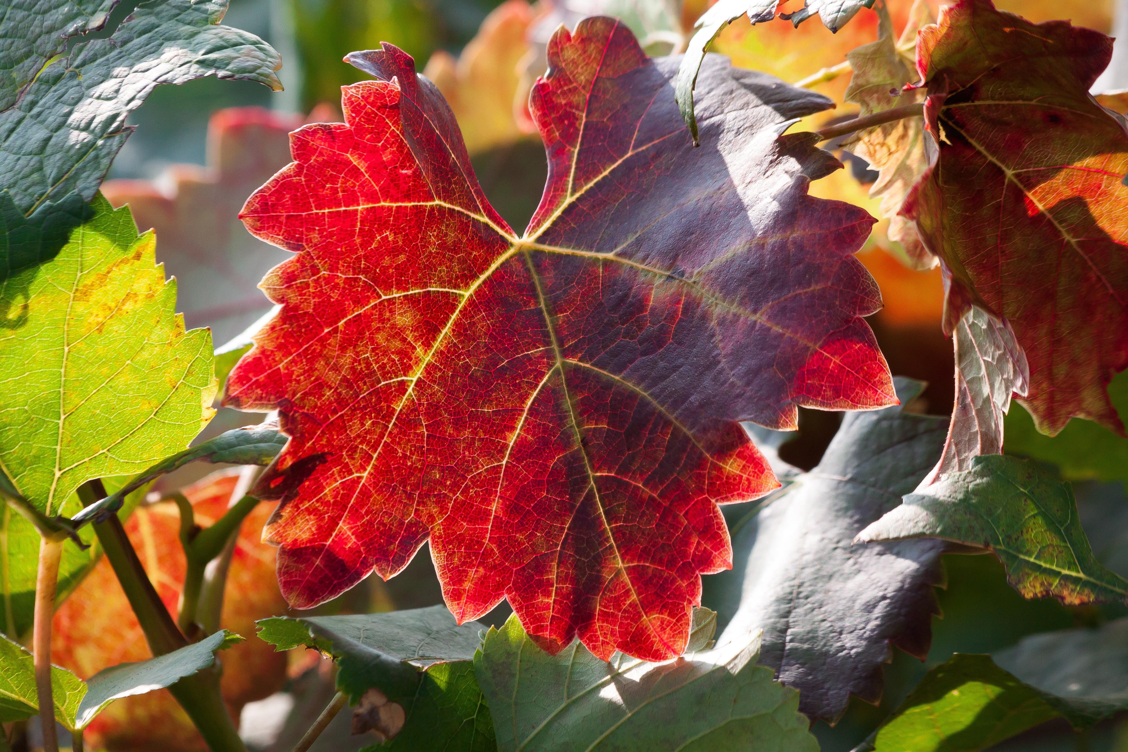 61539 Заставки и Обои Виноград на телефон. Скачать Лист, Природа, Осень, Виноград, Ветки картинки бесплатно
