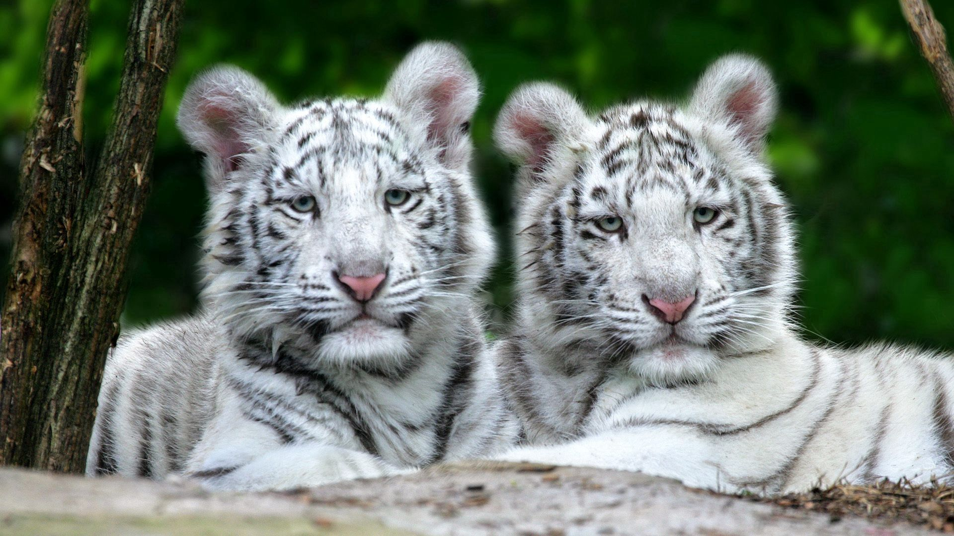 146988 download wallpaper Animals, Couple, Pair, Albino, Striped, Predator, To Lie Down, Lie, Tigers screensavers and pictures for free