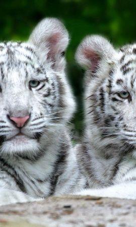 146988壁紙のダウンロード動物, カップル, 双, アルビノ, 縞模様, ストライプ, プレデター, 捕食者, 横になります, 嘘, 阪神タイガース-スクリーンセーバーと写真を無料で