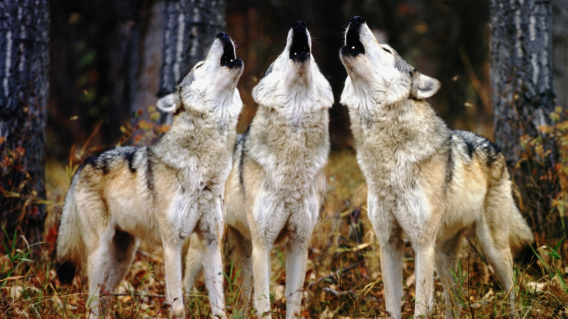 31574 download wallpaper Animals, Wolfs screensavers and pictures for free