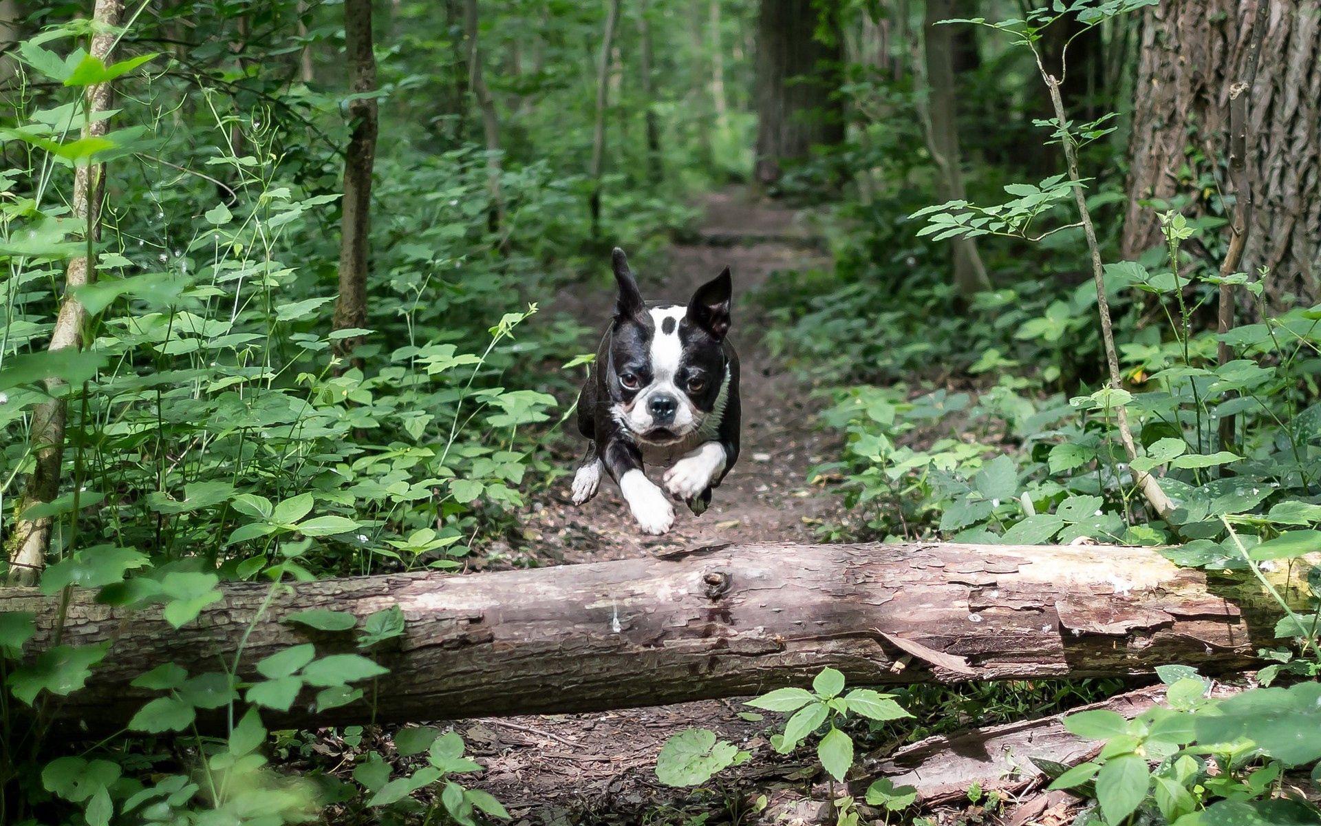 105088 download wallpaper Animals, Dog, Bulldog, Run Away, Run, Bounce, Jump screensavers and pictures for free
