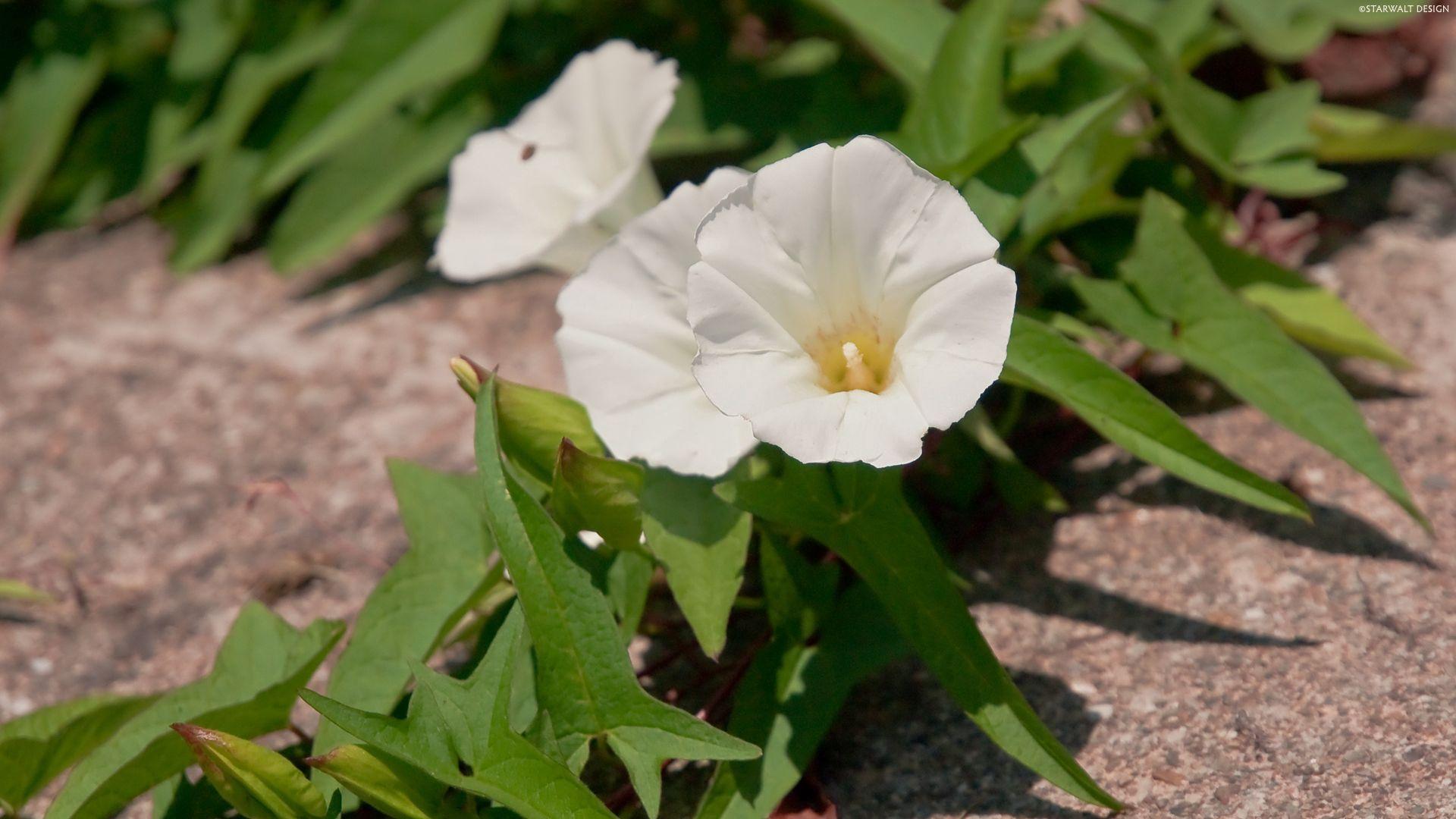 129494 Hintergrundbild herunterladen Blumen, Bindweed, Asphalt, Grüne, Grünen - Bildschirmschoner und Bilder kostenlos