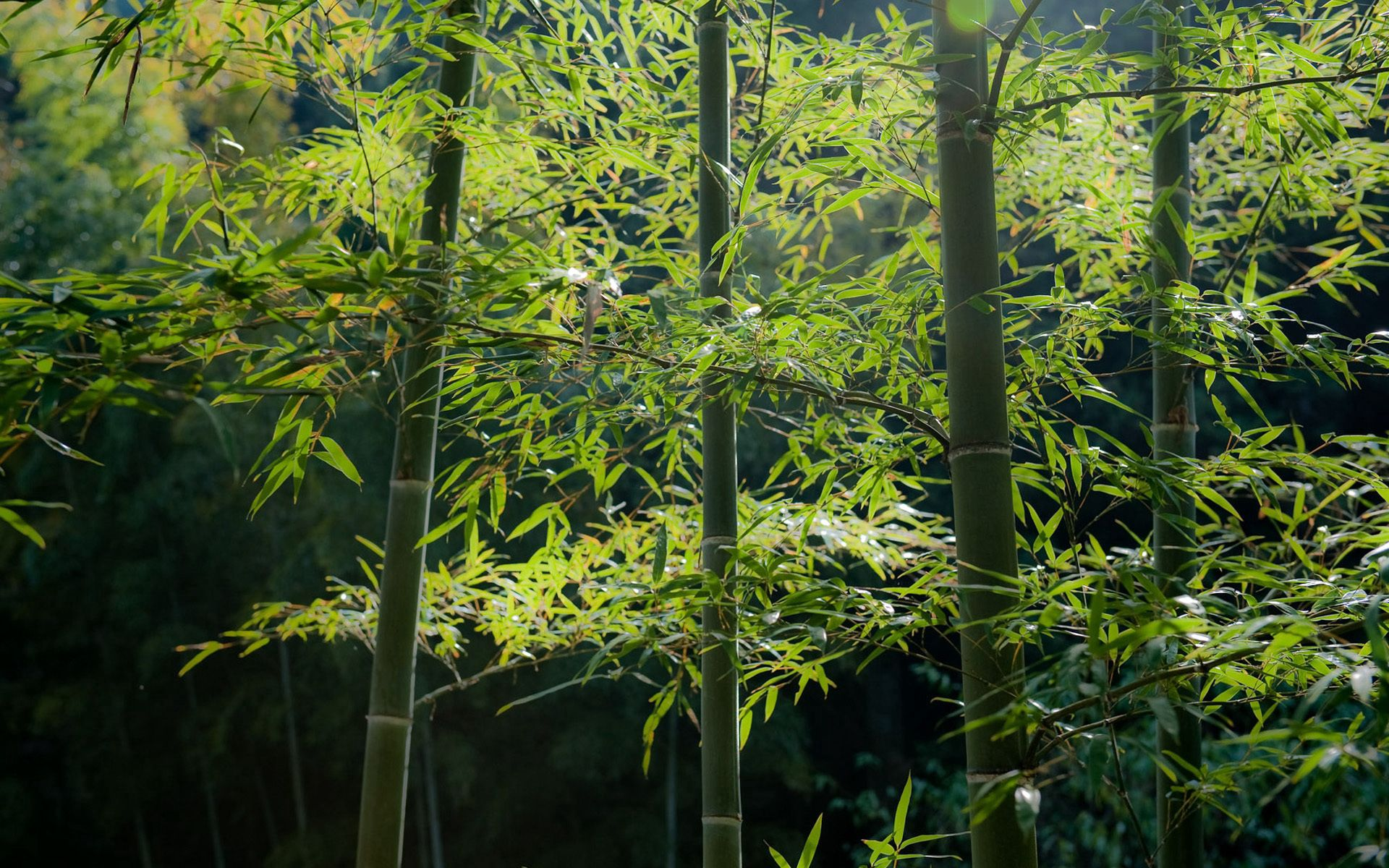 74994 download wallpaper Nature, Bamboo, Forest, Stems, Calmness, Tranquillity screensavers and pictures for free