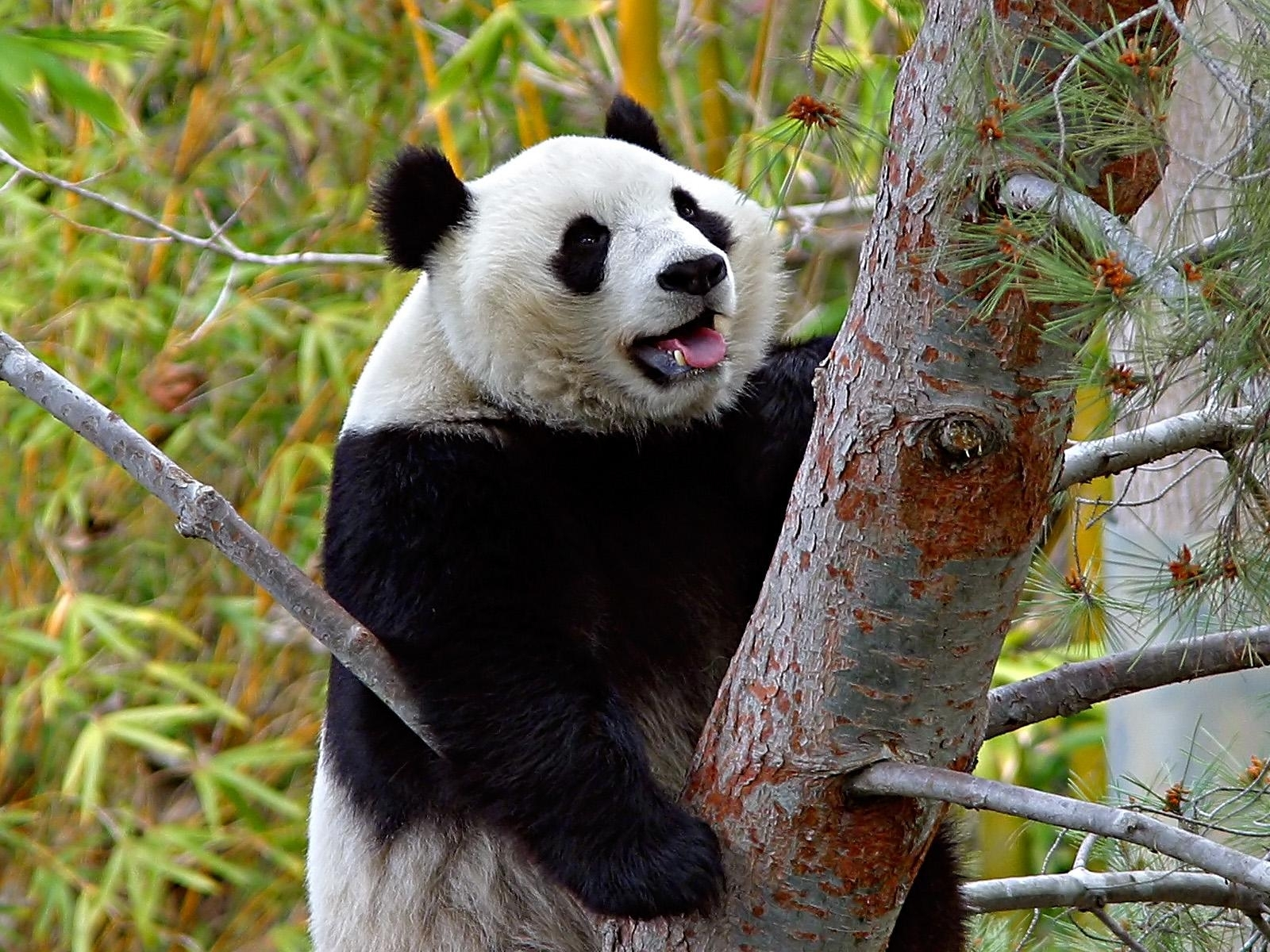 6800 download wallpaper Animals, Bears, Pandas screensavers and pictures for free