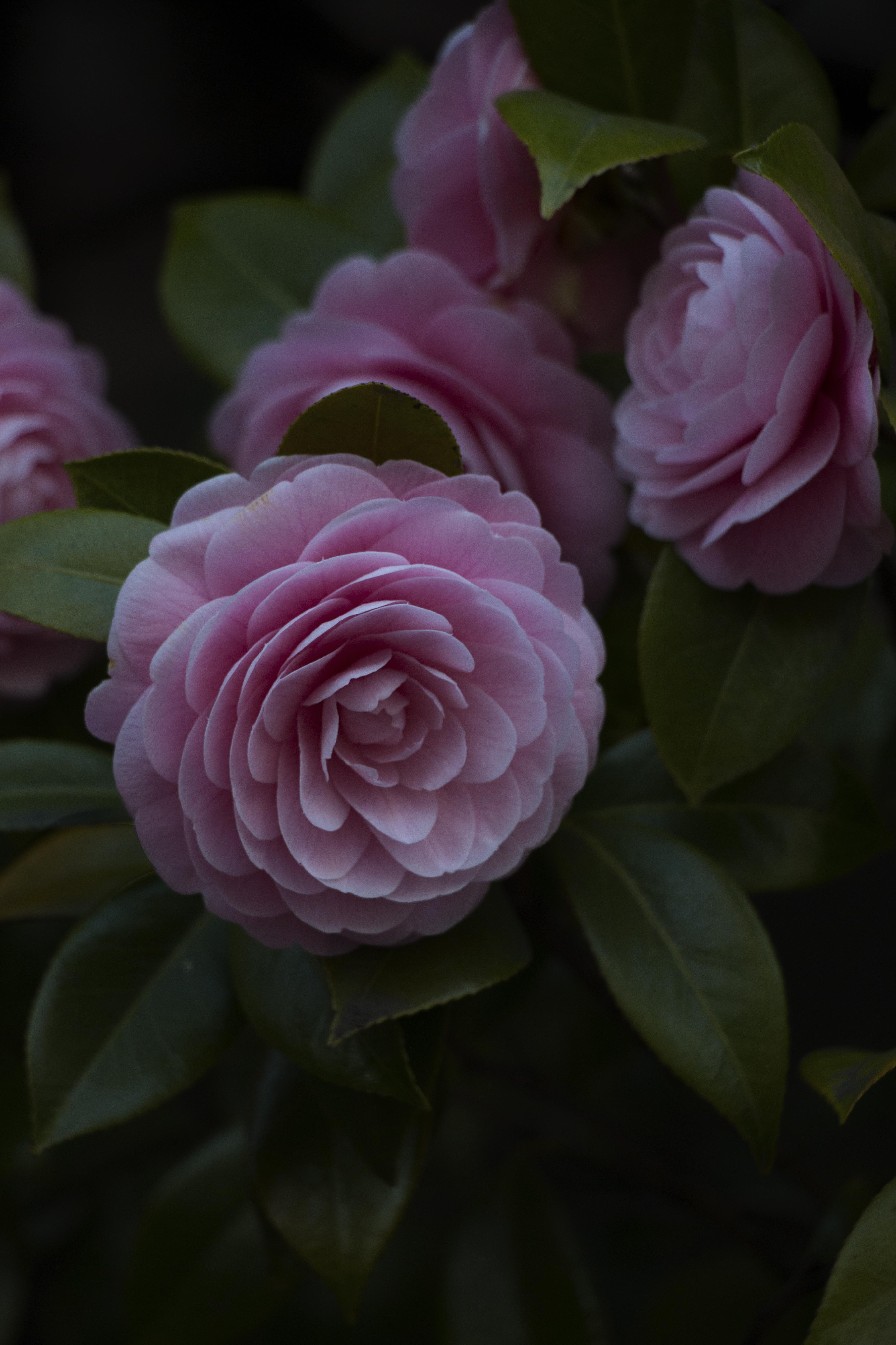 144464 скачать обои Крупный План, Цветы, Цветок, Растение, Цветение, Розовый - заставки и картинки бесплатно