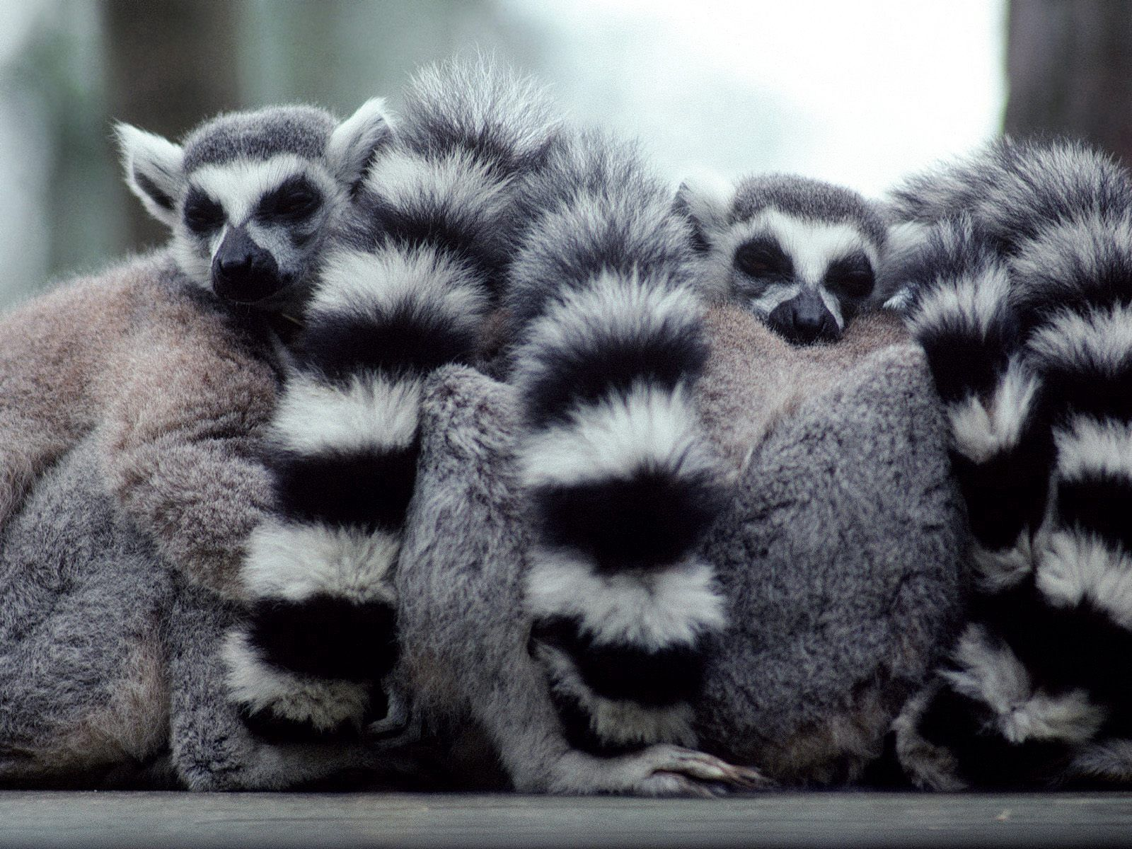 146442 Screensavers and Wallpapers Lemurs for phone. Download Animals, Lemurs, Hide, Family, Tail pictures for free