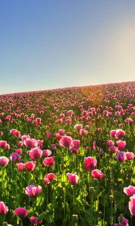 46258 descargar fondo de pantalla Plantas, Paisaje, Flores, Tulipanes: protectores de pantalla e imágenes gratis