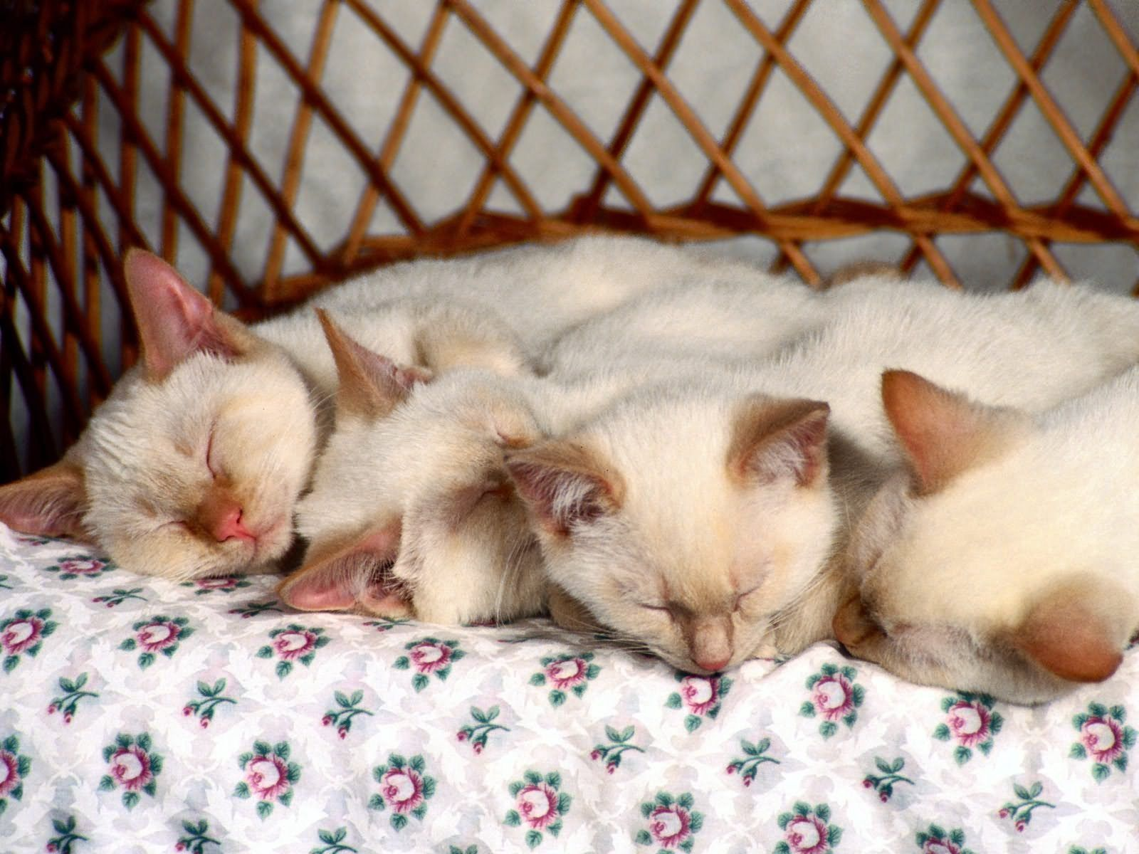 97166 Hintergrundbild herunterladen Tiere, Kinder, Kätzchen, Viel, Schlafen, Kleinkinder - Bildschirmschoner und Bilder kostenlos