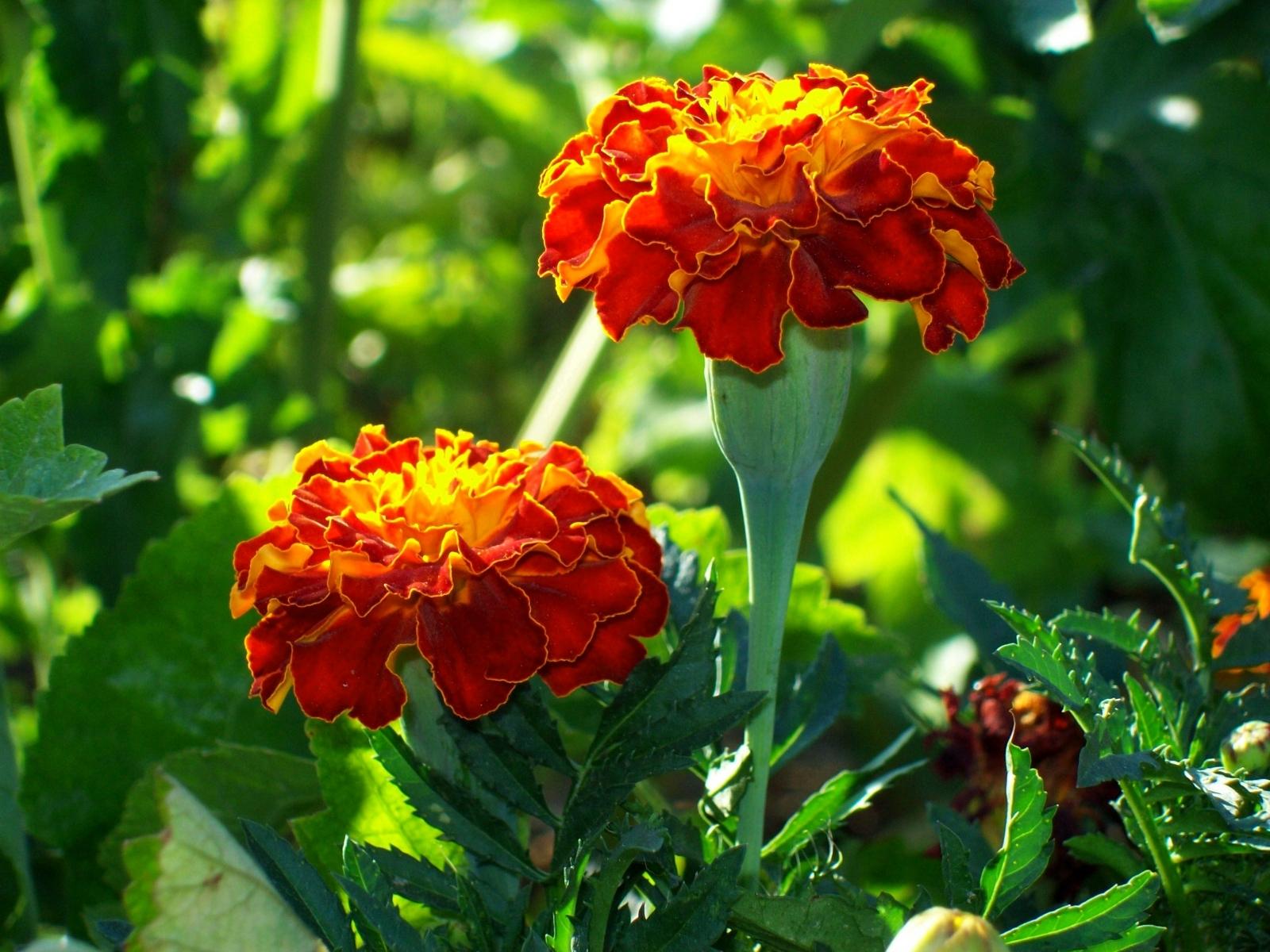 3416 скачать обои Растения, Цветы - заставки и картинки бесплатно