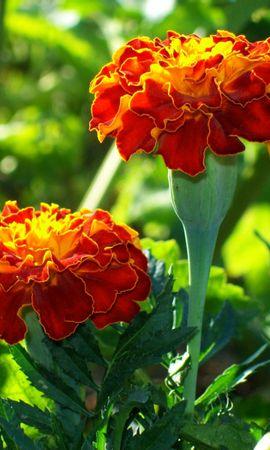 3416 descargar fondo de pantalla Plantas, Flores: protectores de pantalla e imágenes gratis