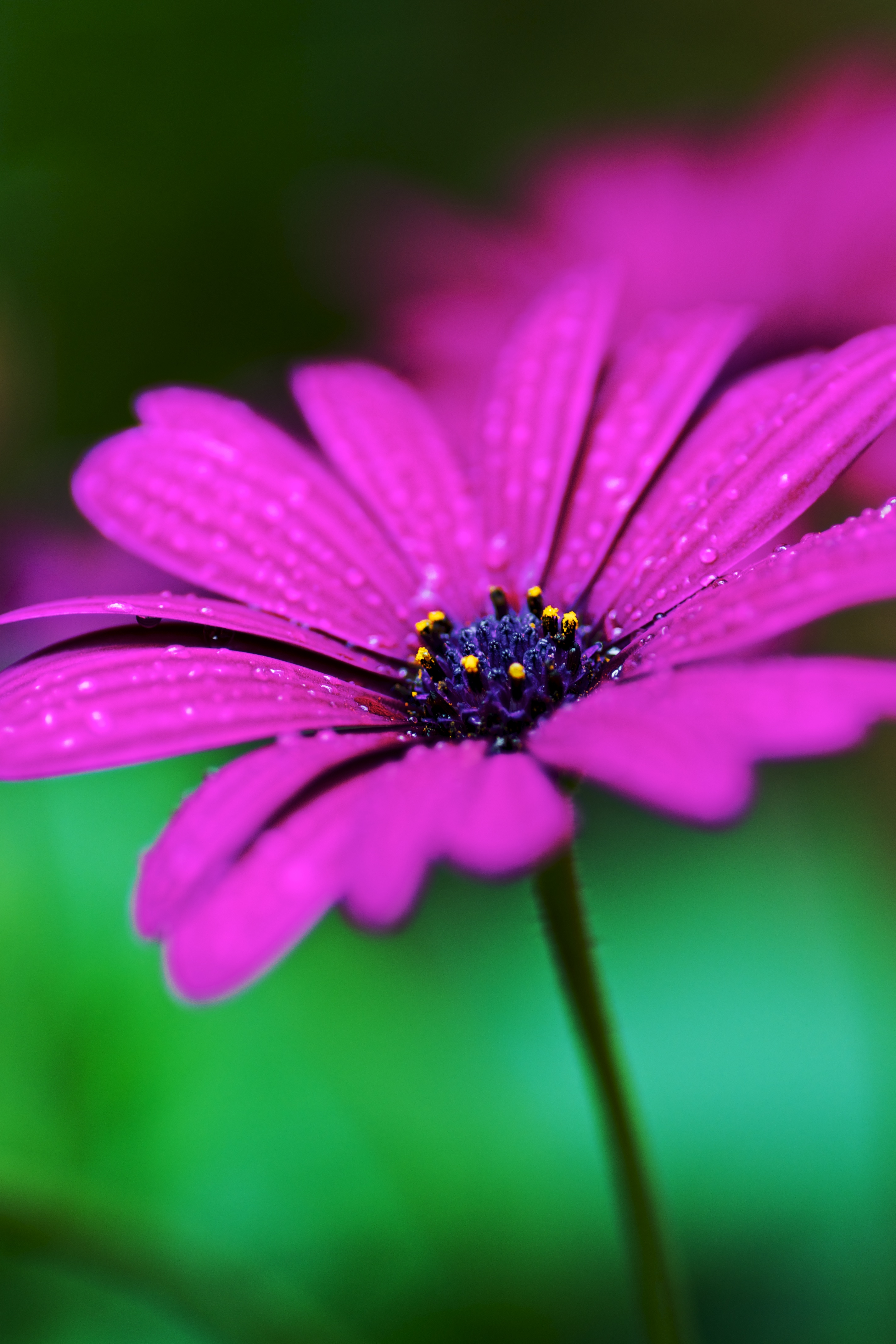113836 Screensavers and Wallpapers Drops for phone. Download Drops, Violet, Flower, Macro, Wet, Purple pictures for free