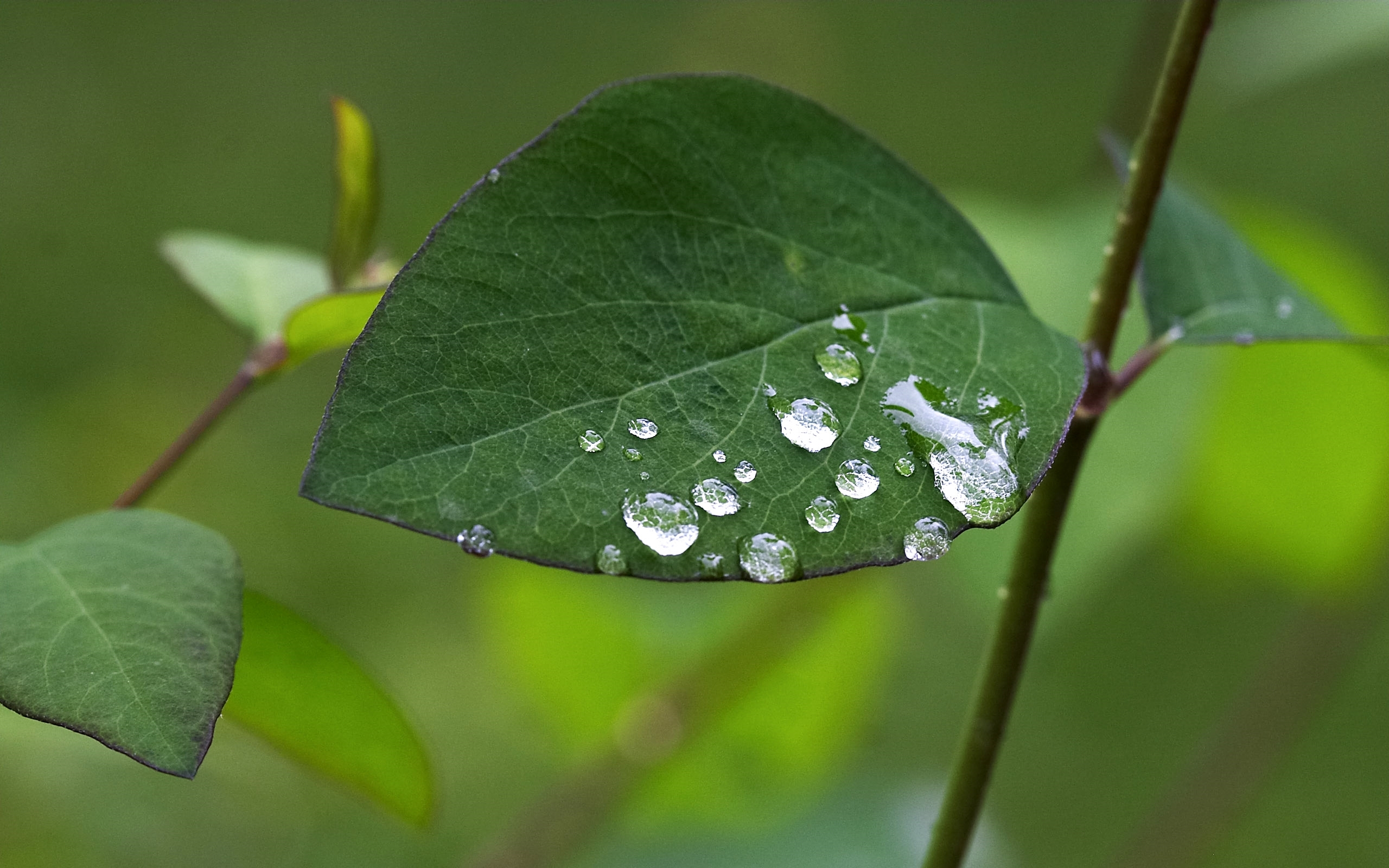30814 download wallpaper Background, Leaves, Drops screensavers and pictures for free