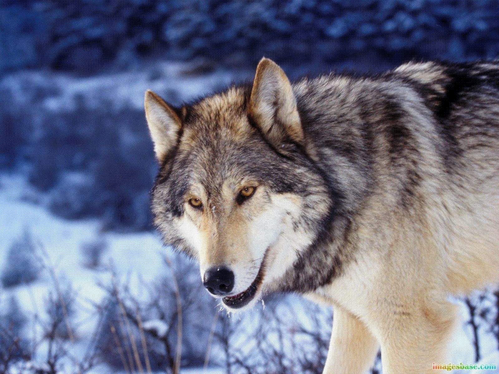 5247 download wallpaper Animals, Wolfs screensavers and pictures for free