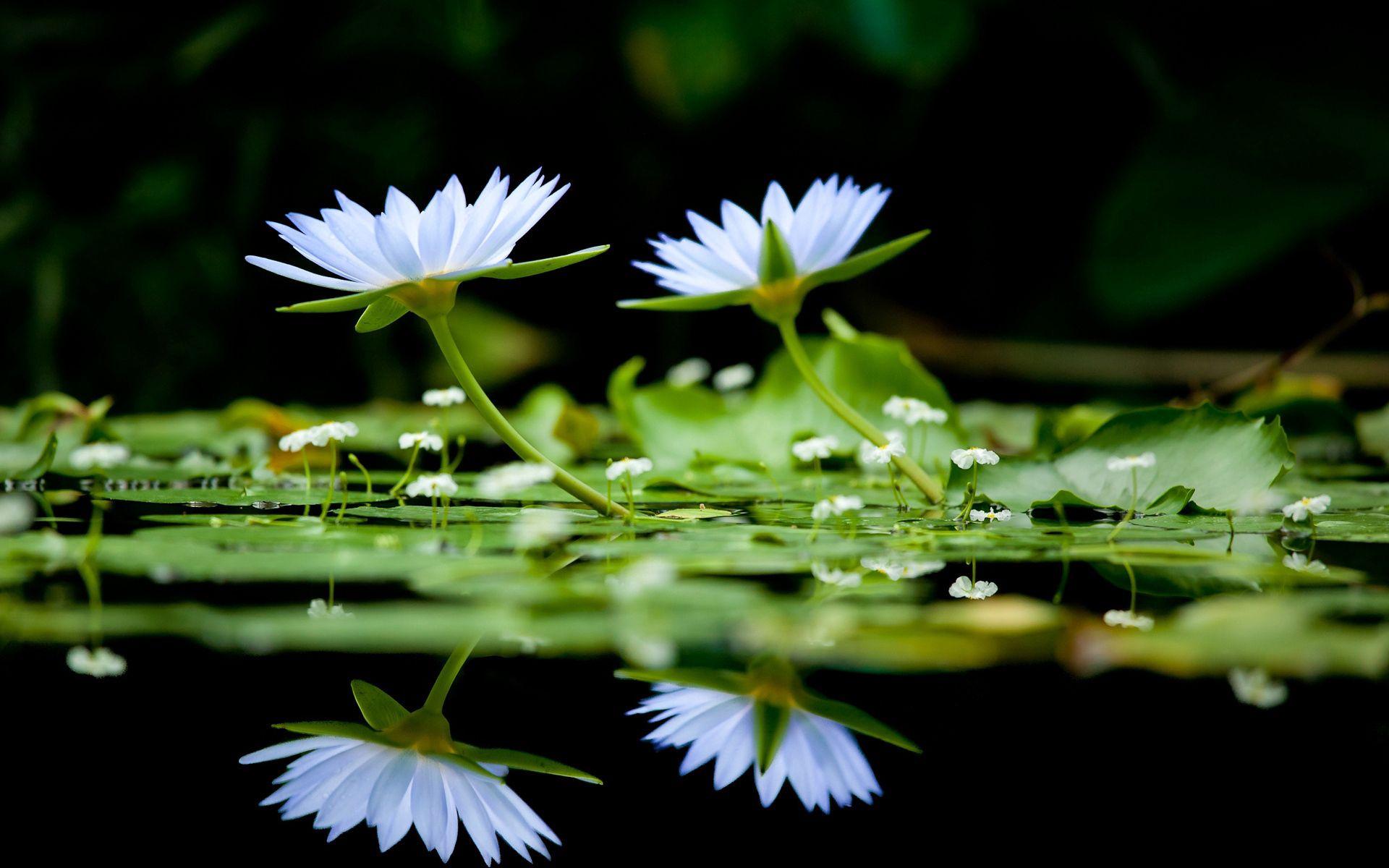 150113 скачать обои Цветы, Зелень, Вода, Гладь, Отражение - заставки и картинки бесплатно