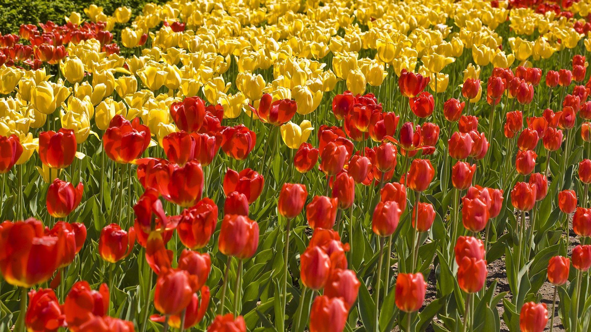 62069 descargar fondo de pantalla Flores, Campo, Hierba, Cama De Flores, Parterre, Tulipanes: protectores de pantalla e imágenes gratis