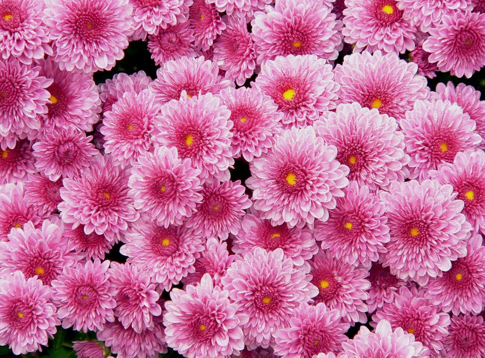 144351 скачать обои Цветы, Розовые, Много, Хризантемы - заставки и картинки бесплатно