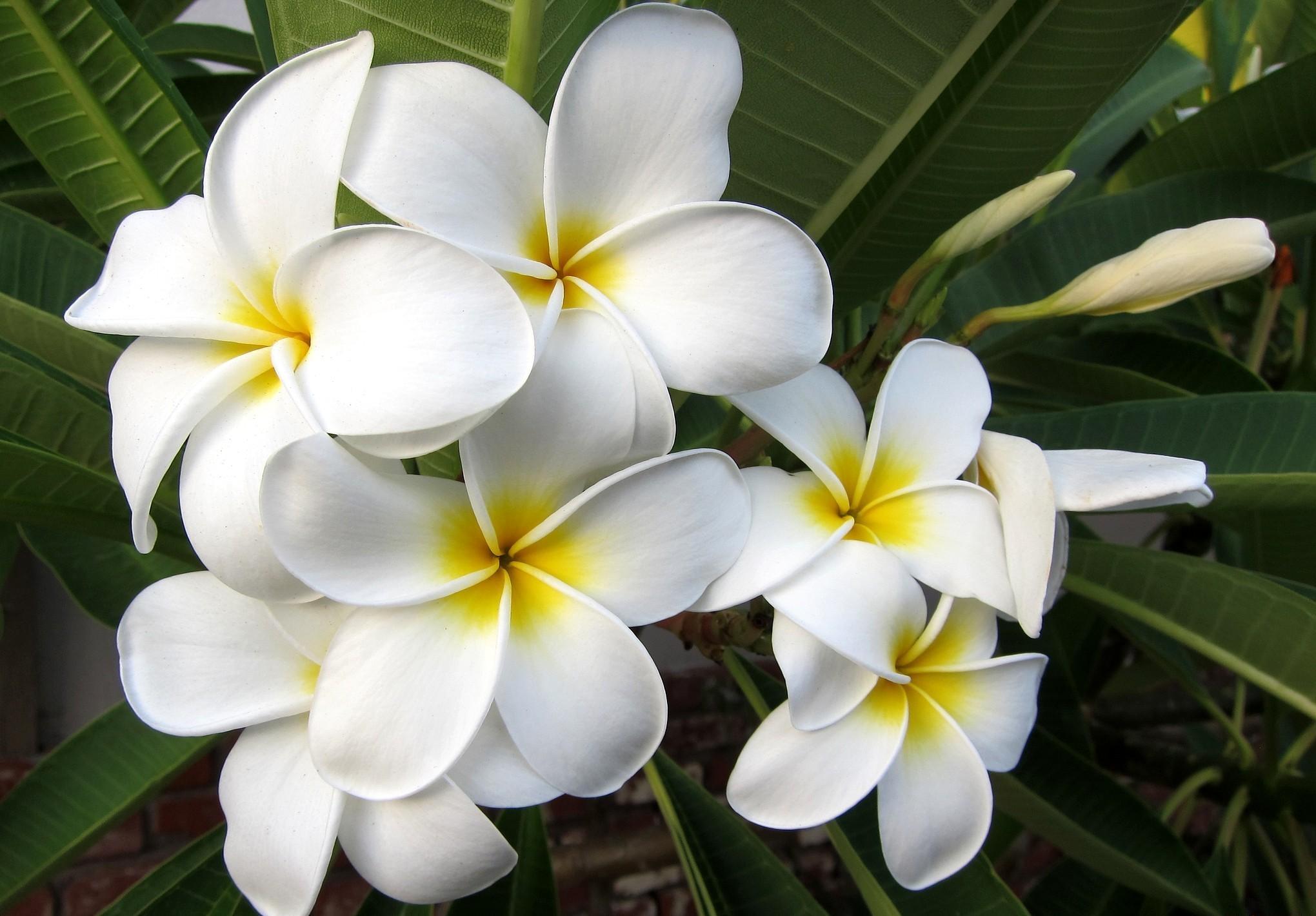 114235 скачать обои Цветы, Плюмерия, Цветение, Листья, Экзотика - заставки и картинки бесплатно