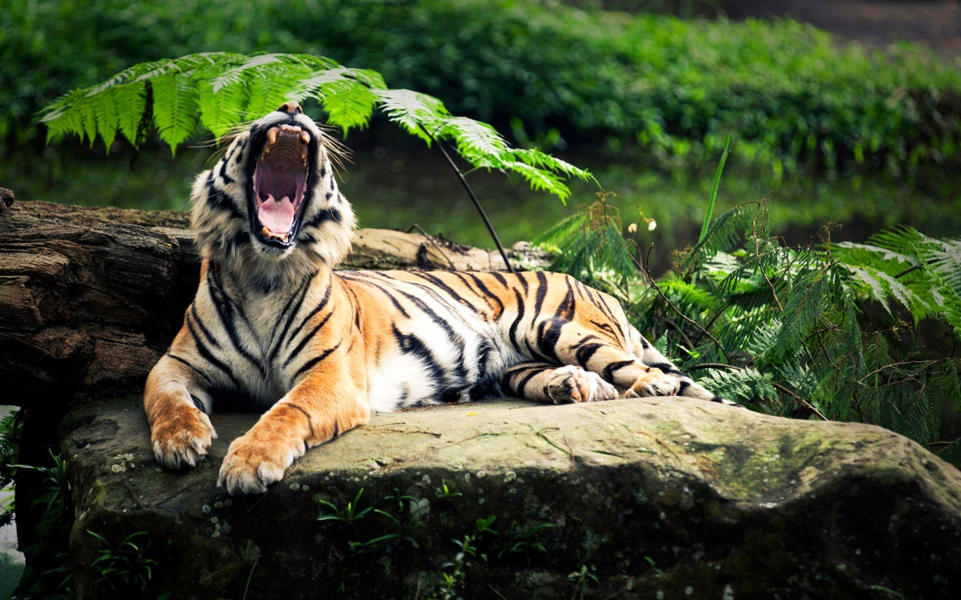 39741 download wallpaper Animals, Tigers screensavers and pictures for free