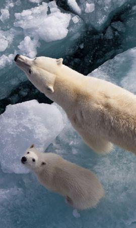 45175 baixar papel de parede Animais, Bears - protetores de tela e imagens gratuitamente