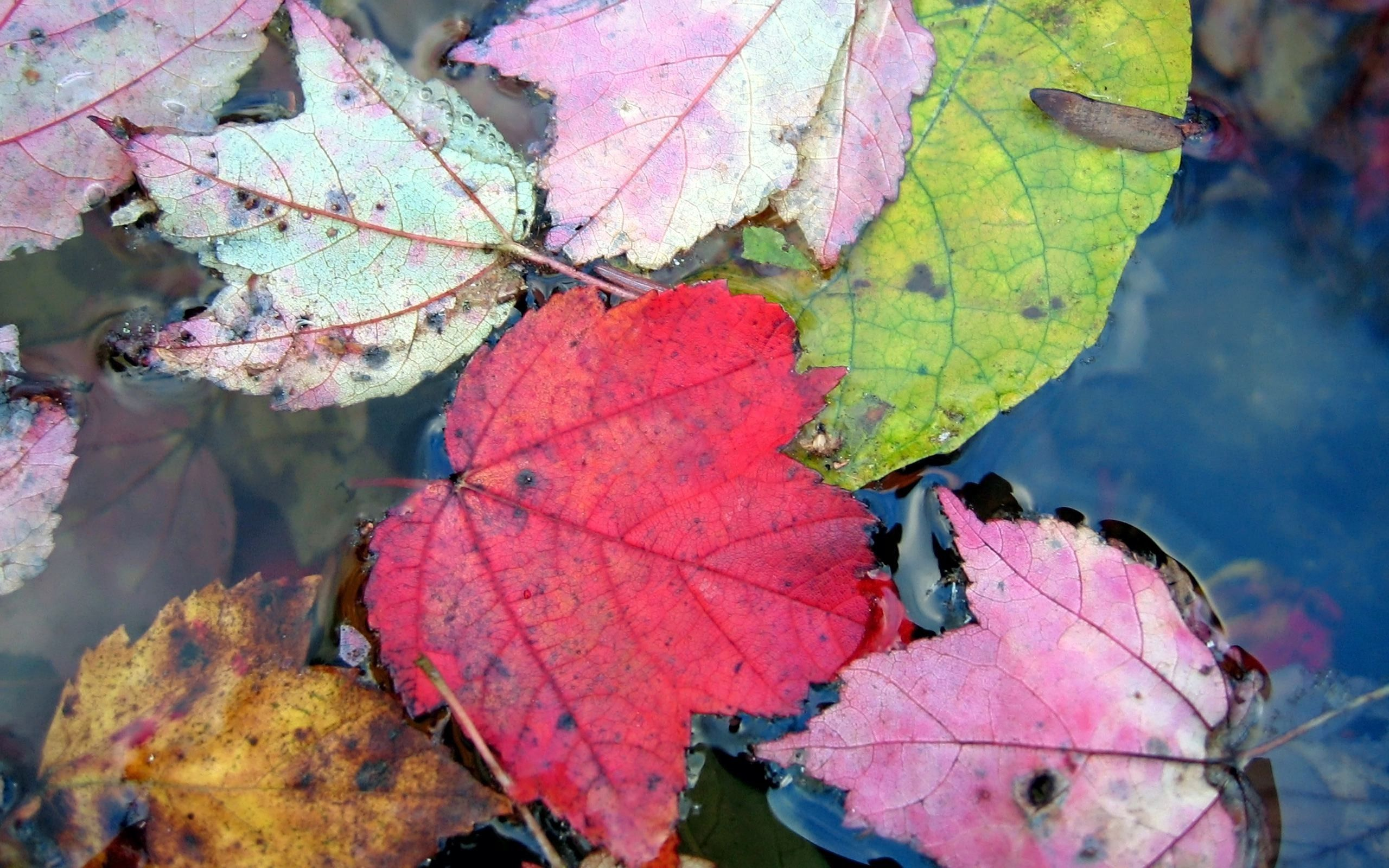 113826 download wallpaper Macro, Leaves, Autumn, Multicolored, Motley, Water, To Swim, Swim screensavers and pictures for free