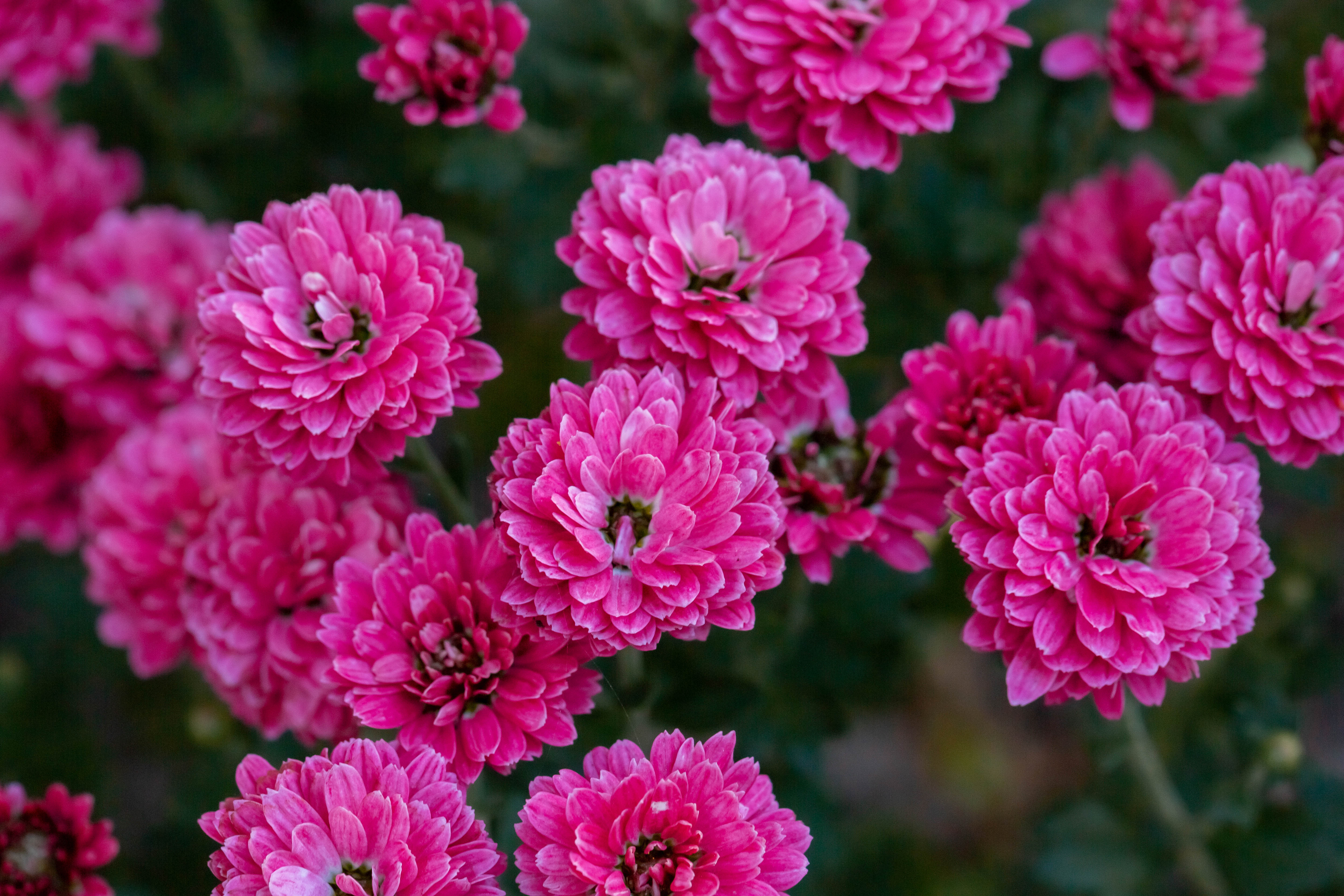 75179 download wallpaper Flowers, Pink, Chrysanthemum, Plant, Bloom, Flowering screensavers and pictures for free