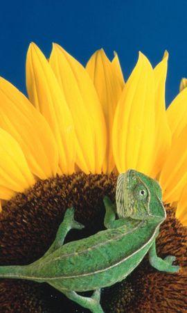 756 скачать обои Животные, Растения, Подсолнухи, Хамелеоны - заставки и картинки бесплатно