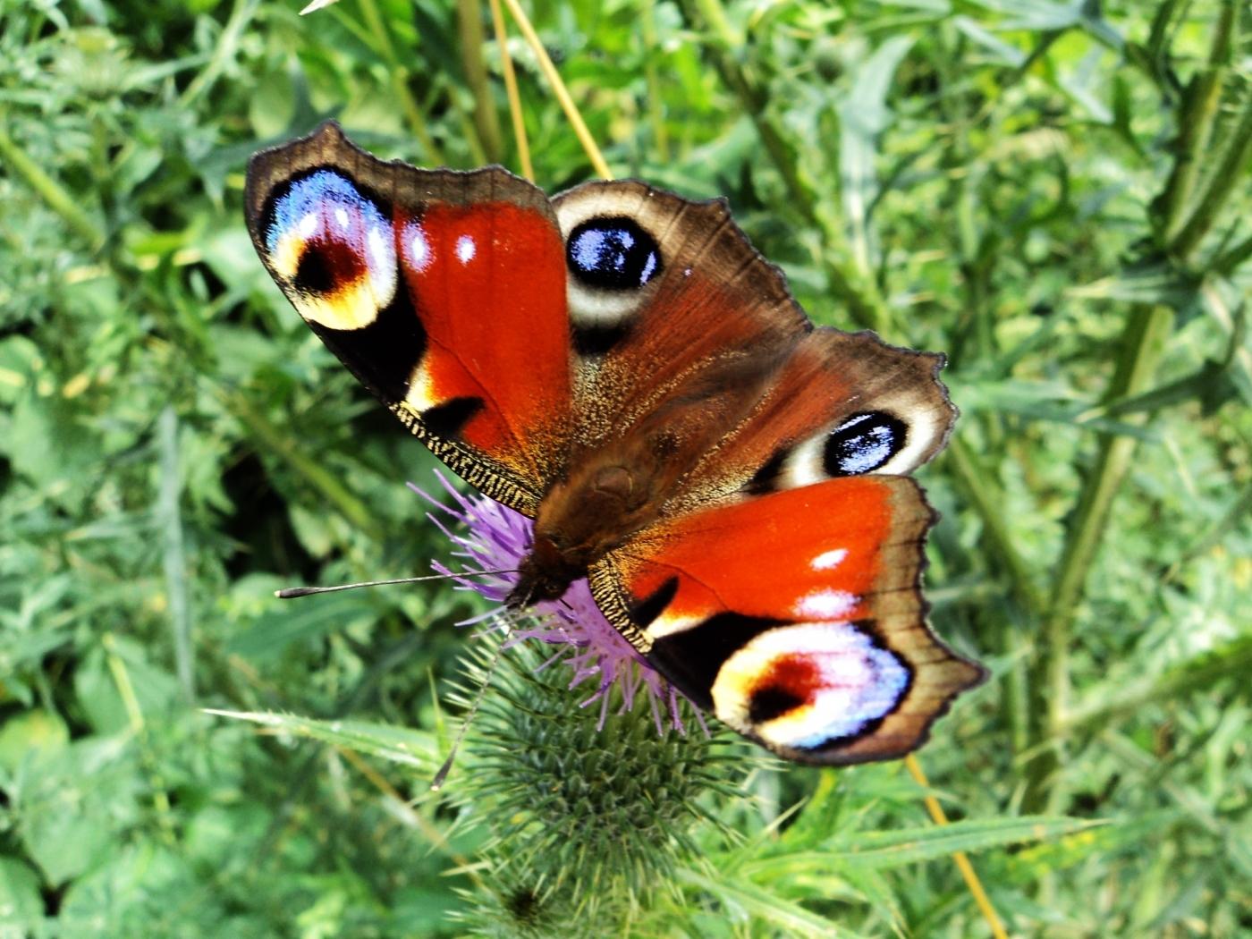 42881 скачать обои Животные, Бабочки - заставки и картинки бесплатно